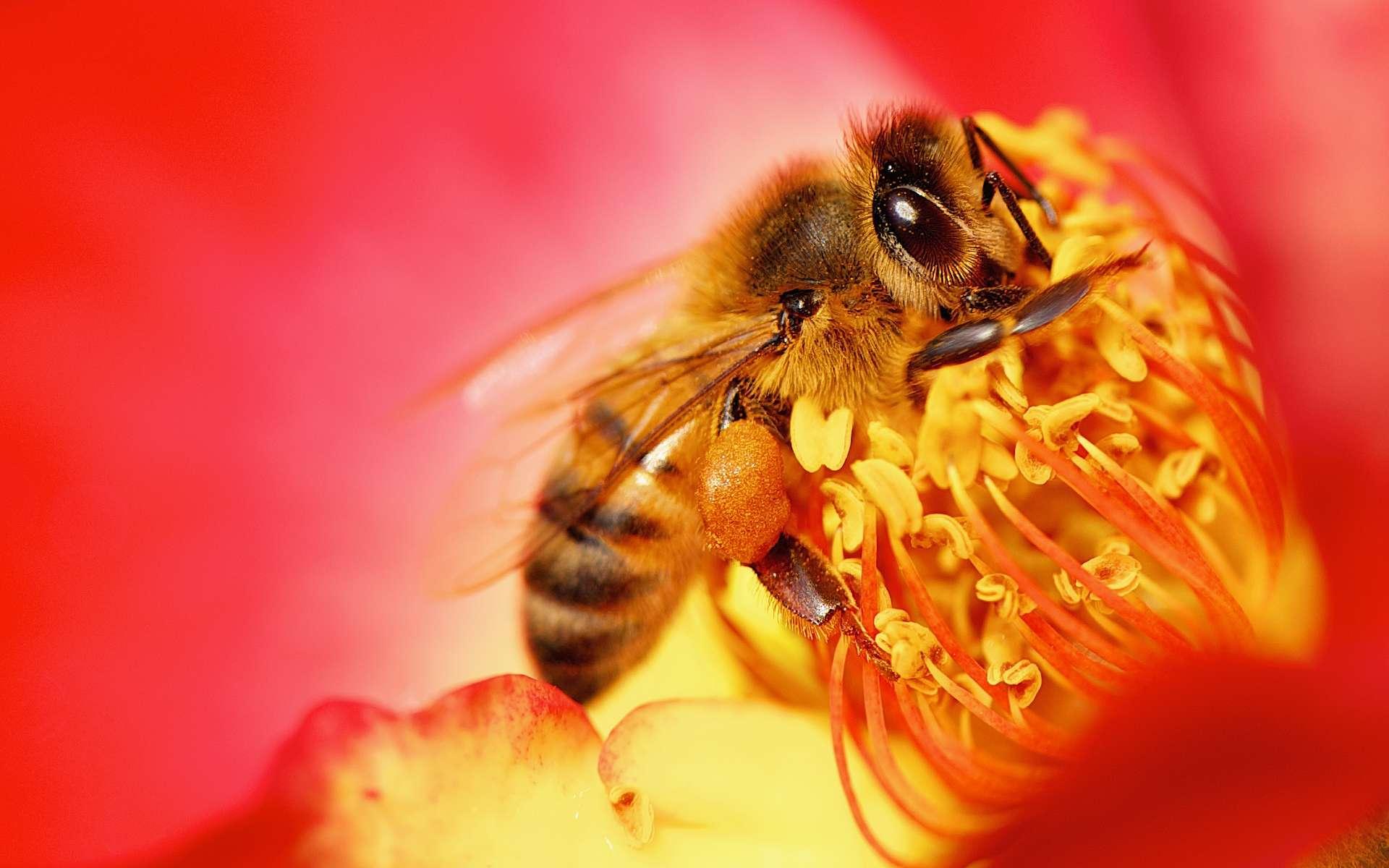 Les abeilles bientôt vaccinées contre les maladies ? © Danny Perez Photography, Flickr