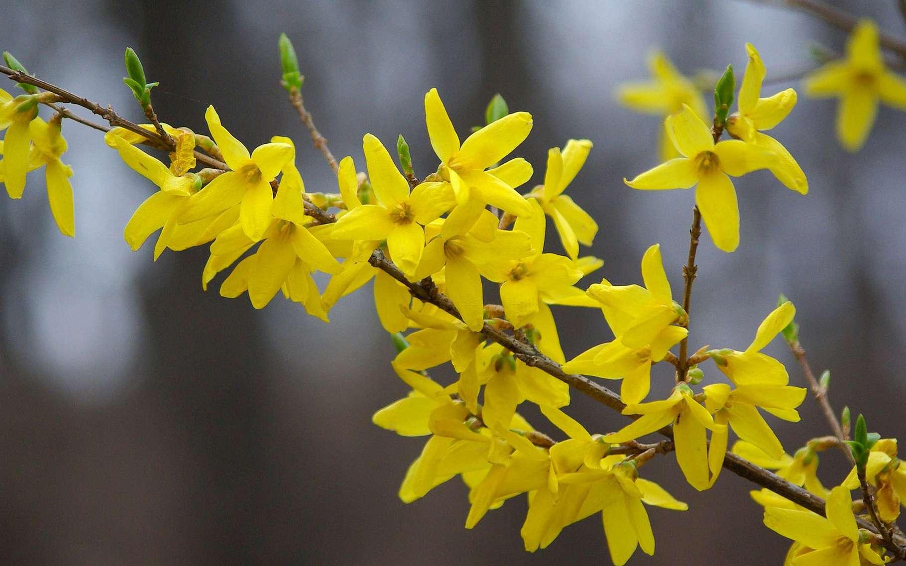 Le forsythia en fleur, c'est l'arrivée du printemps. © Kimdaejung, Pixabay, DP