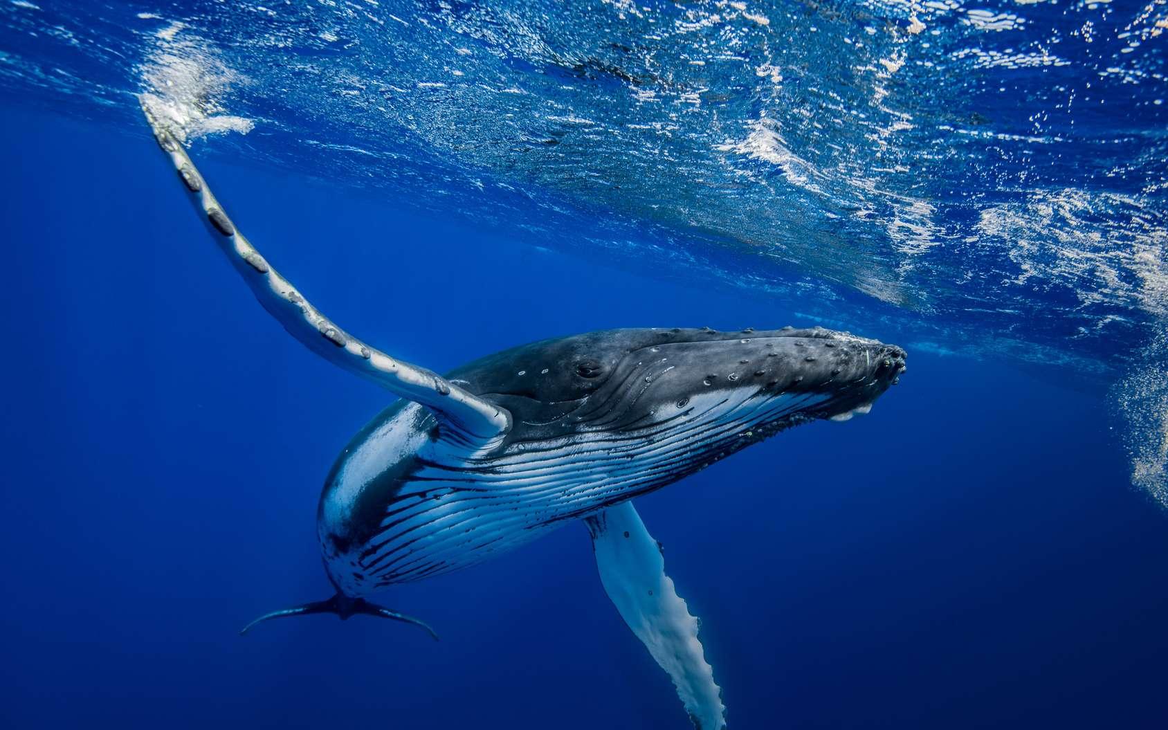 Les baleines à bosse pourront bientôt compter sur l'IA de Google pour vivre un peu plus en paix. © romain, Fotolia