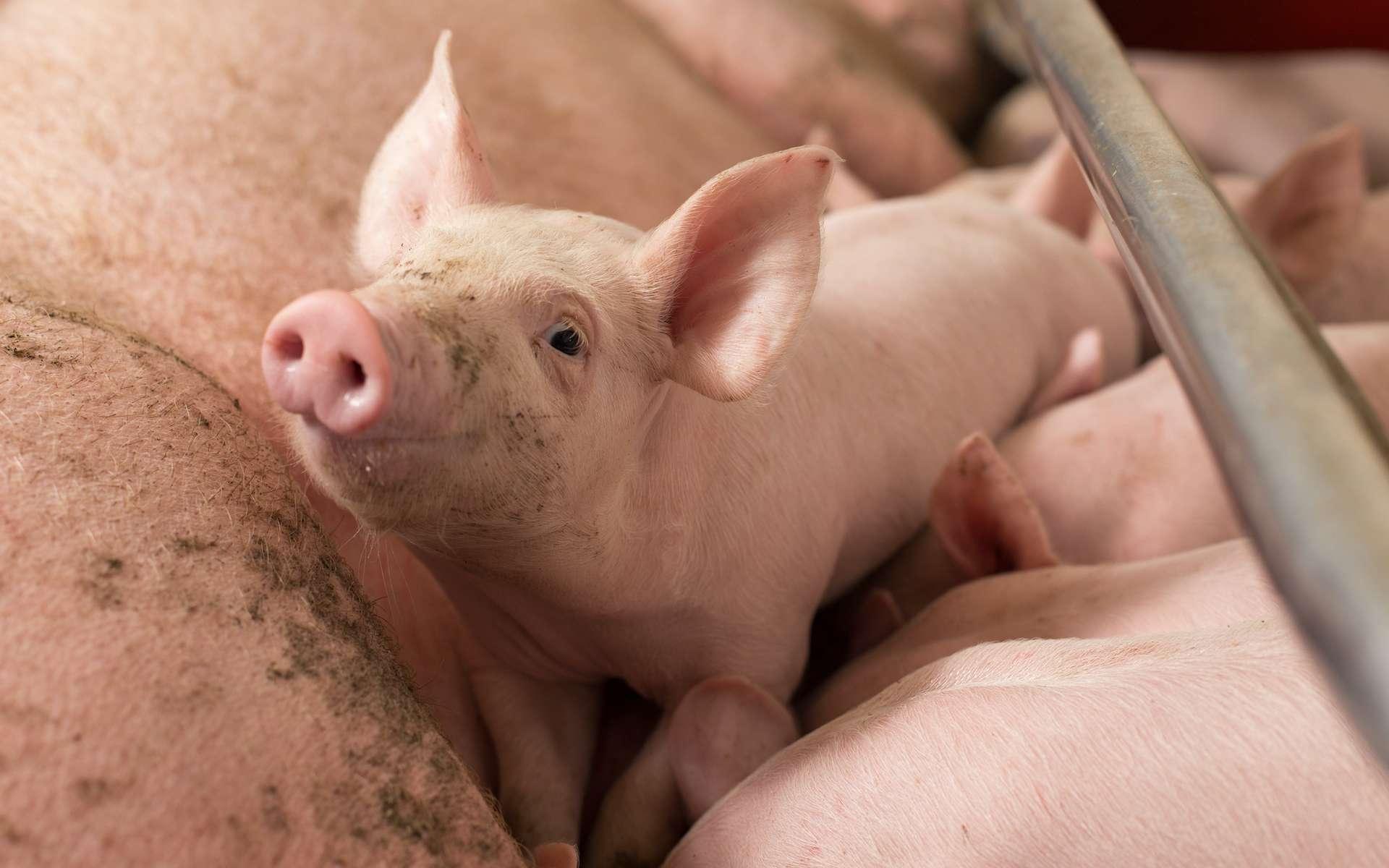 Des cochons hybrides avec des cellules de macaque sont nés en Chine. © Budimir Jevtic, Adobe Stock