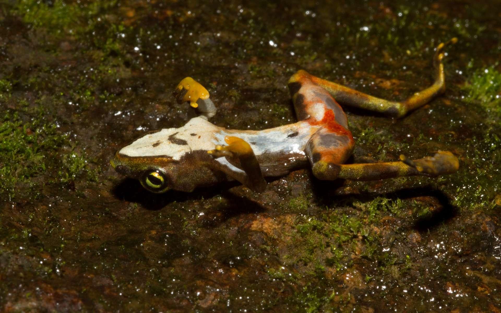 Ce champignon aquatique a causé un effondrement des populations d'amphibiens. © Brian Gratwicke, iNaturalist