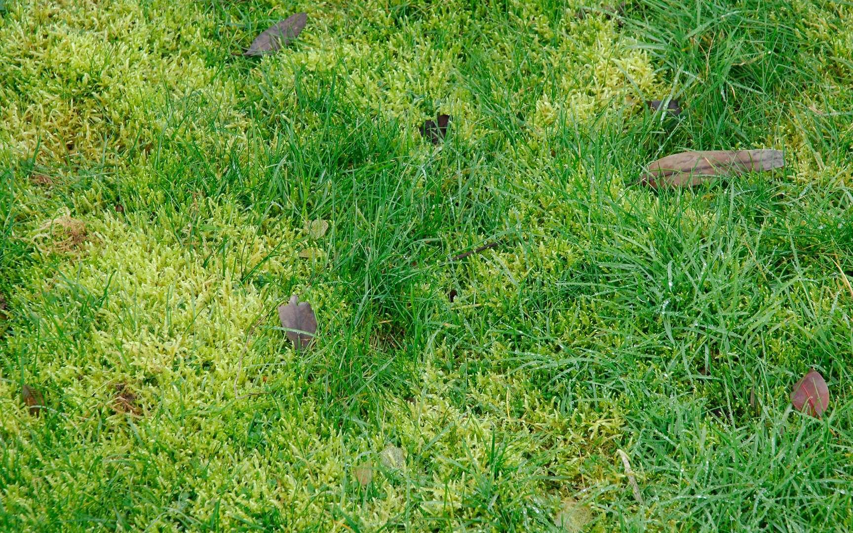 Une pelouse envahie par la mousse. © DR