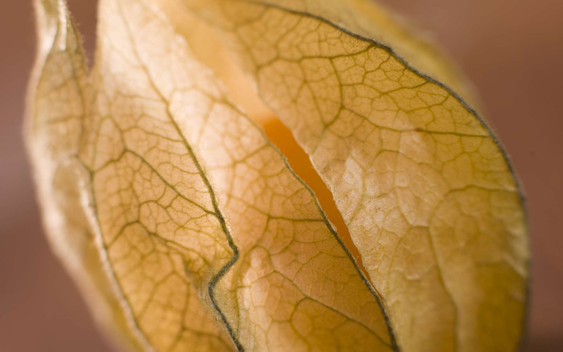 Les fleurs du physalis sont quasiment translucides. © Phovoir