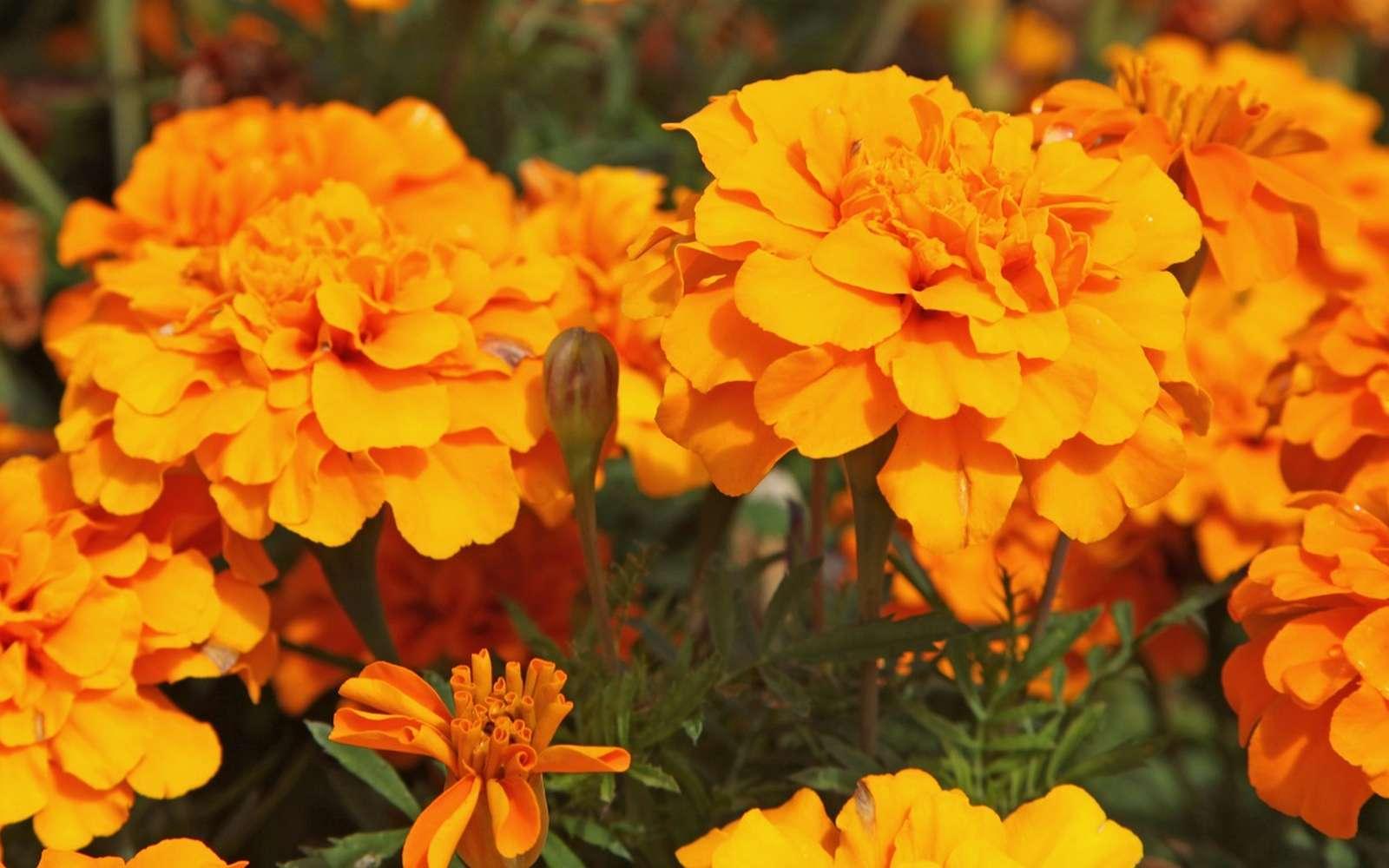 Multitude de fleurs aux couleurs chaudes garantie avec les œillets d'Inde. © hcast, Adobe Stock
