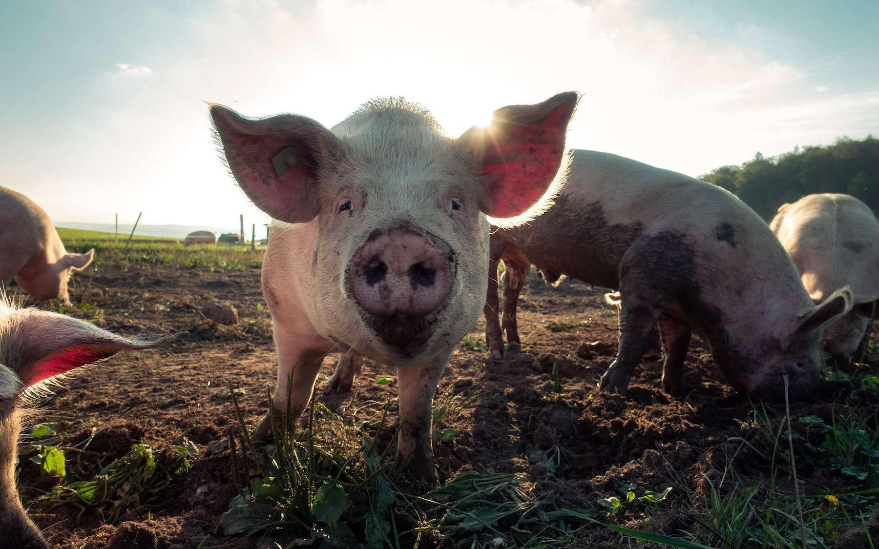 Le cochon GalSafe possède un gène qui élimine la présence d'une molécule de sucre appelée alphagal. © Pascal Debrunner, Unsplash