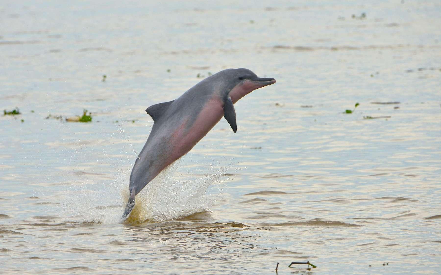 À l'instar du tuxuci ou sotalie de l'Amazone, tous les dauphins d'eau douce du monde sont aujourd'hui menacés. © Fernando Trujillo