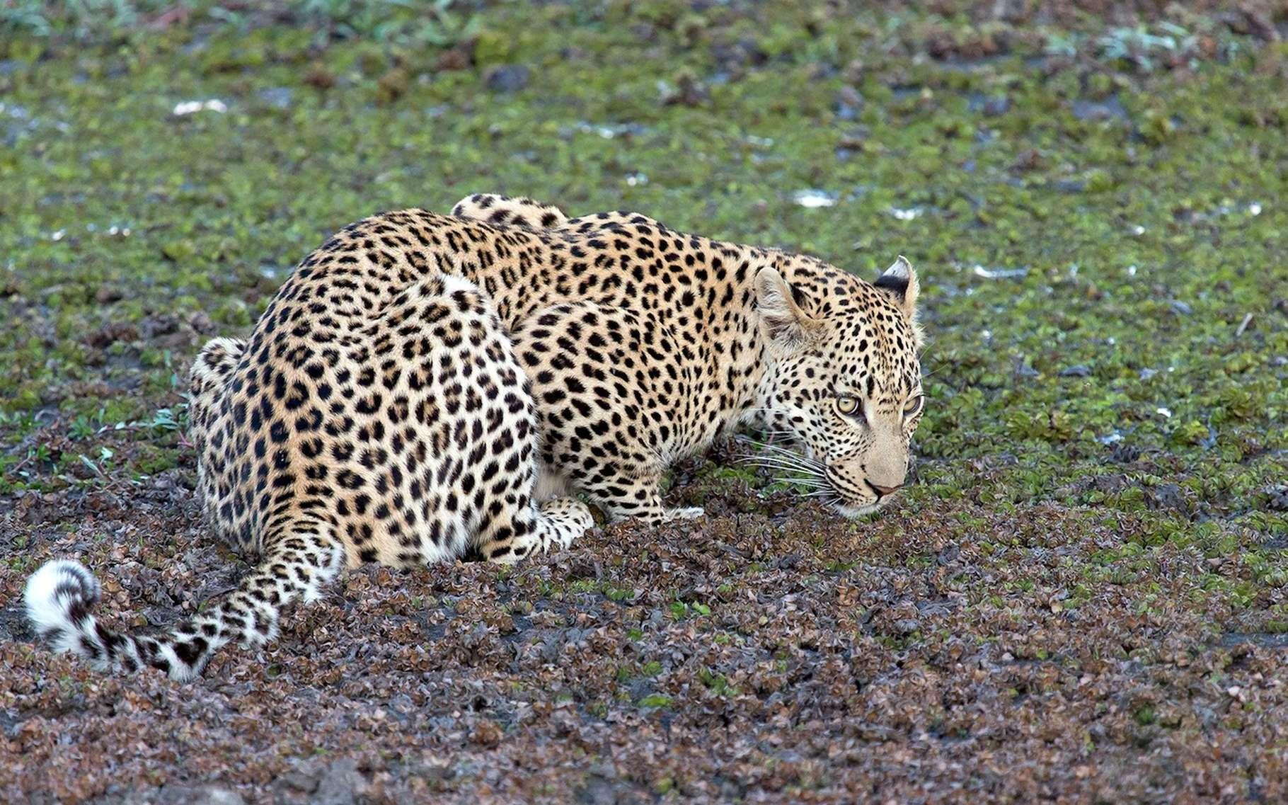 Si leur pelage peut amener à les confondre, léopard, guépard et jaguar sont assez facilement différenciables. Ici, un léopard. © Freizeithald, Pixabay, DP