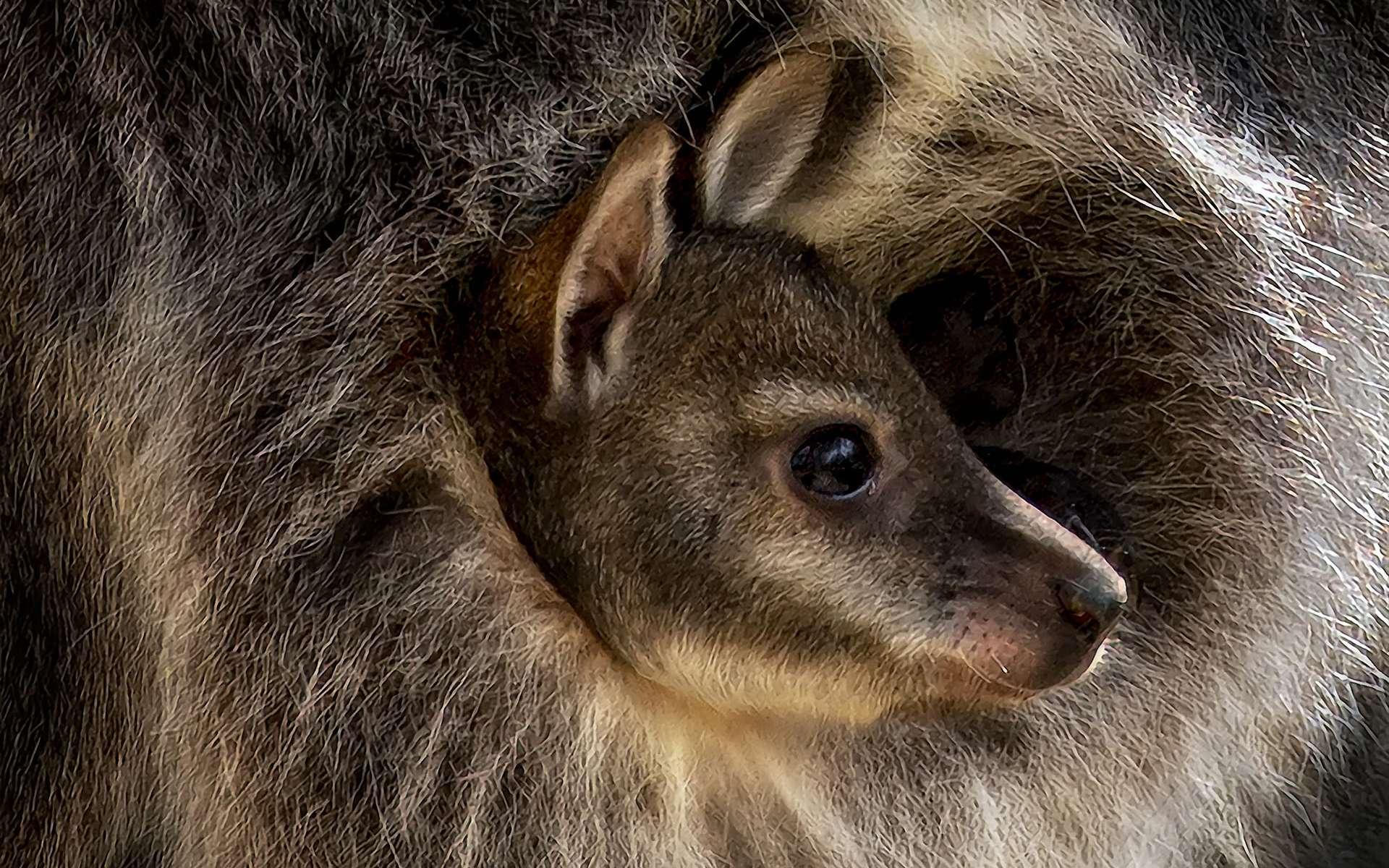 Le wallaby est un marsupial que l'on trouve en Australie. Comme le kangourou, son cousin, il termine son développement embryonnaire dans la poche de sa mère. Ainsi, dès 4 semaines de gestation, le wallaby vient au monde et suit lentement un chemin de salive laissé par sa mère pour le conduire jusqu'à la fameuse poche. De fait, la femelle wallaby, comme la femelle kangourou, ne porte toujours qu'un seul petit par grossesse.Toutefois, le wallaby est plus petit que le kangourou. Et son corps, plus compact, lui permet de se déplacer dans la forêt avec agilité. Mais il vit un peu moins longtemps — moins de 15 ans — que son cousin. © Pedro Jarque Krebs, tous droits réservés
