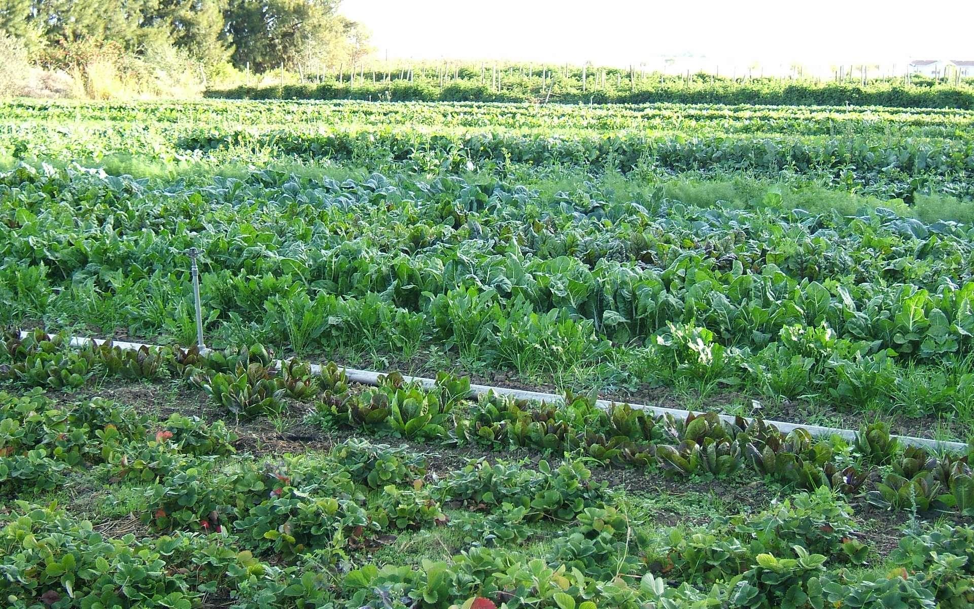 En France, on compte cinq organismes certificateurs : Agrocert, Certipaq, Ecocert, Qualité France et SGS-ICS. Ils peuvent effectuer jusqu'à quatre ou cinq contrôles approfondis et imprévus par an. © Hajhouse, Wikimédia, DP
