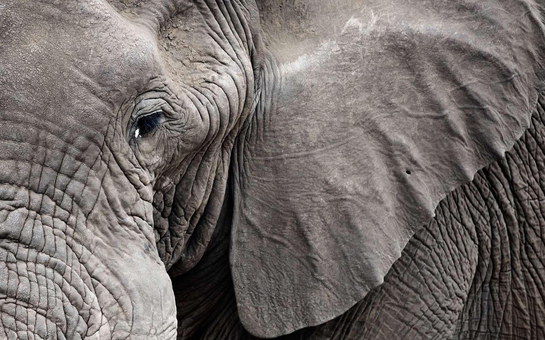 La perte de l'habitat naturel des éléphants représente une grande menace pour ces pachydermes. En ce qui concerne l'éléphant pygmée de Bornéo, il n'existerait plus que 1.500 individus (voir autre photo ci-dessous). © Daxiao Productions, Shutterstock