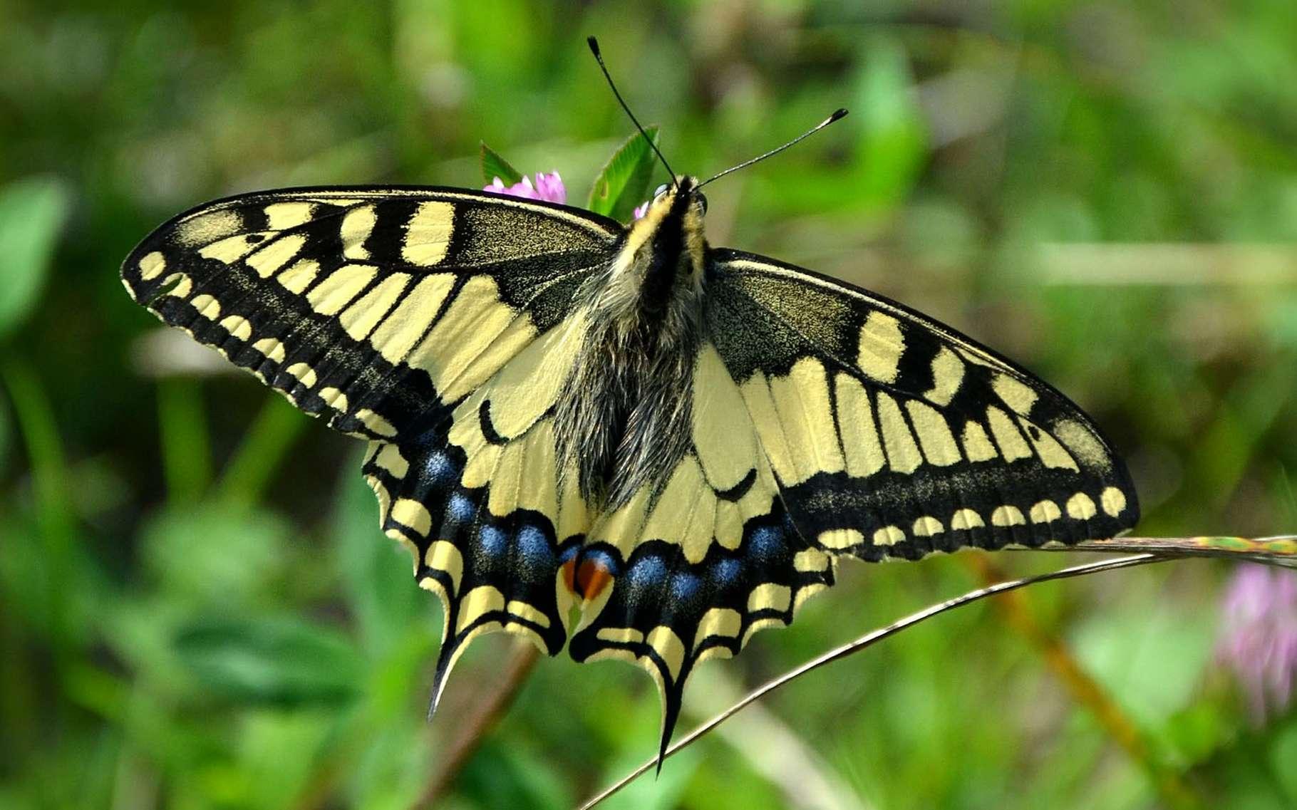 En Europe, le Machaon est un des papillons les plus courants. La couleur jaune et les dessins noirs de ses magnifiques ailes le rendent facilement reconnaissable dans les jardins. Pourtant, il ne les utilise que très peu, préférant planer en se laissant porter par le vent. © Congerdesign, Pixabay, DP