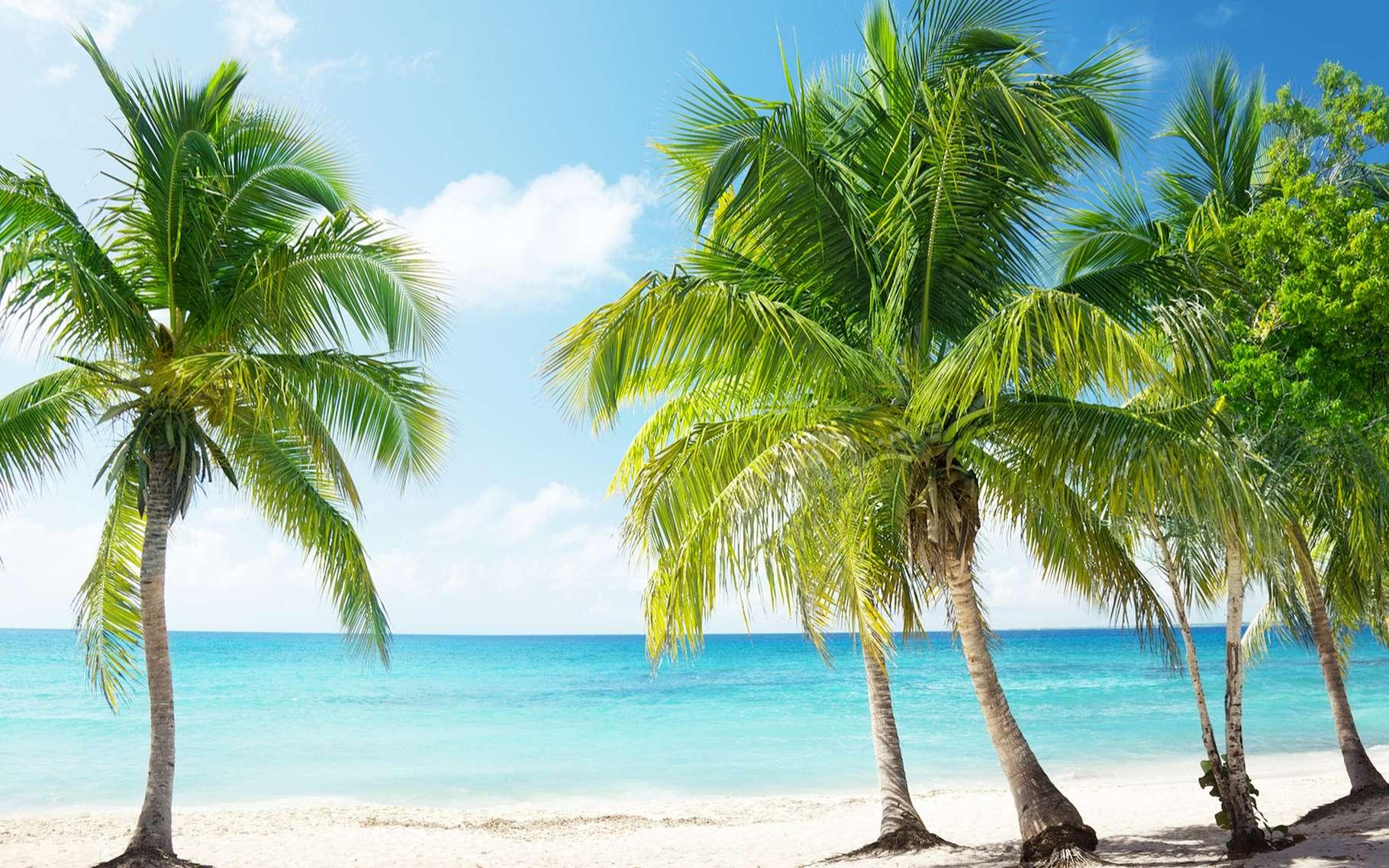 Cocotiers et Caraïbes sont devenus indissociables depuis l'introduction de la culture de la noix de coco il y a cinq siècles. © Iakov Kalinin, Shutterstock
