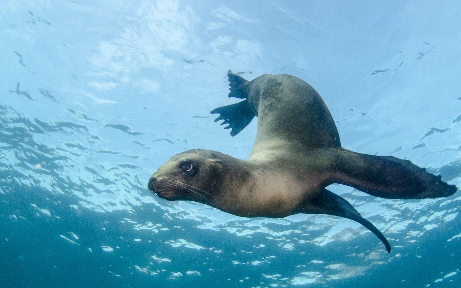 Côté taille de cerveau, l'otarie de Californie n'a pas été gâtée par la nature. Pourtant, l'animal des mers n'est… pas si bête ! © leonardogonzalez, Adobe Stock