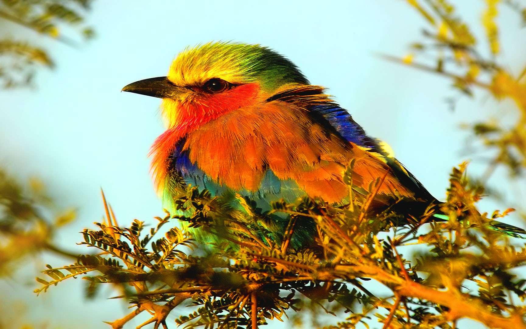 Le rollier à longs brins. Le rollier à longs brins (Coracias caudatus) est une espèce d'oiseaux vivant en Afrique subsaharienne et dans le sud de la péninsule Arabique. Cet oiseau très coloré vit seul ou en couple. Il est très agressif lorsqu'il s'agit de défendre son territoire. Alimentation : insectes © Arno Meintjes, Flickr, cc by nc sa 2.0