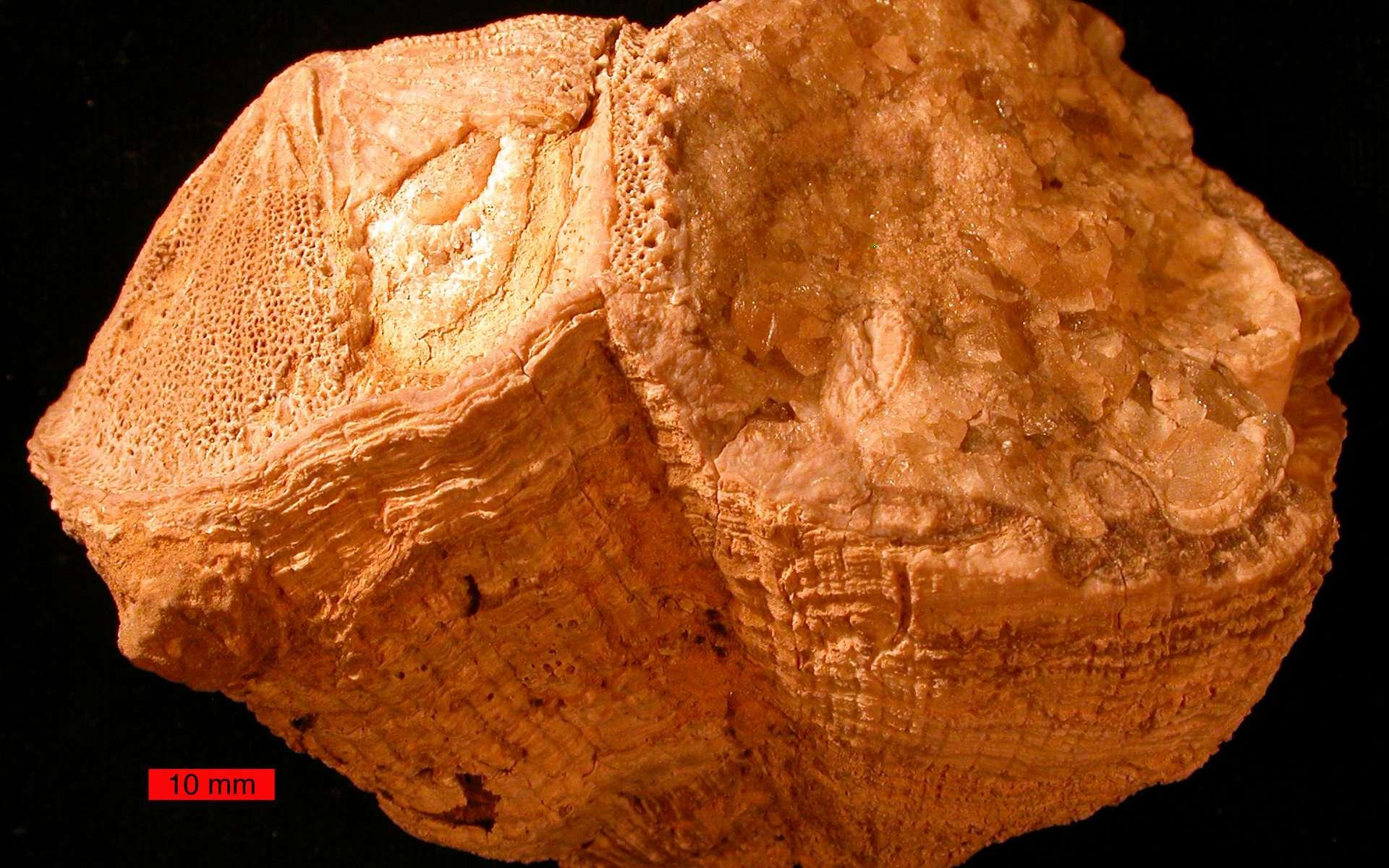 Un fossile de mollusque bivalve (Vaccinites) provenant d'Arabie Saoudite. © Wilson44691, Wikipedia