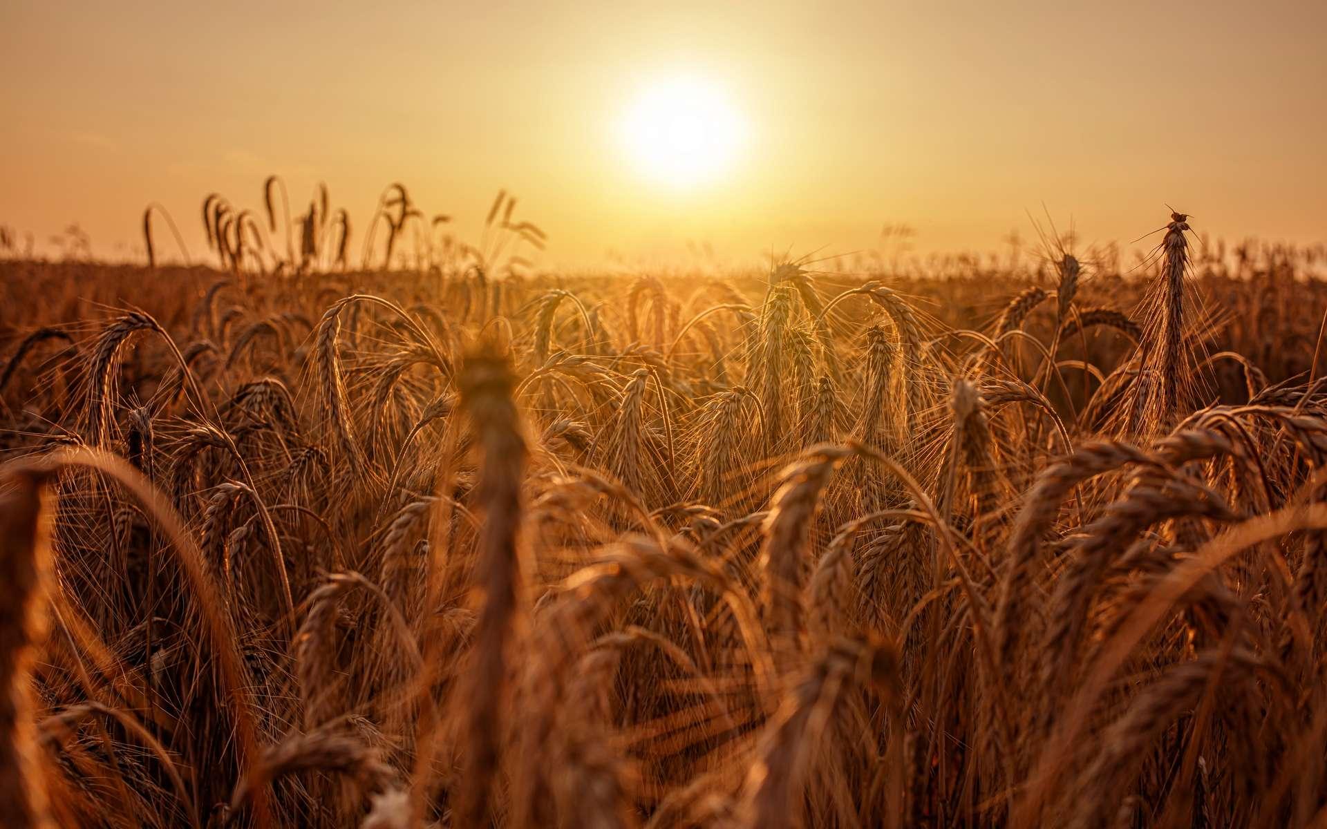Les pâtes alimentaires sont fabriquées à partir de blé dur, une céréale bien particulière. © Maurice Tricatelle, Adobe Stock