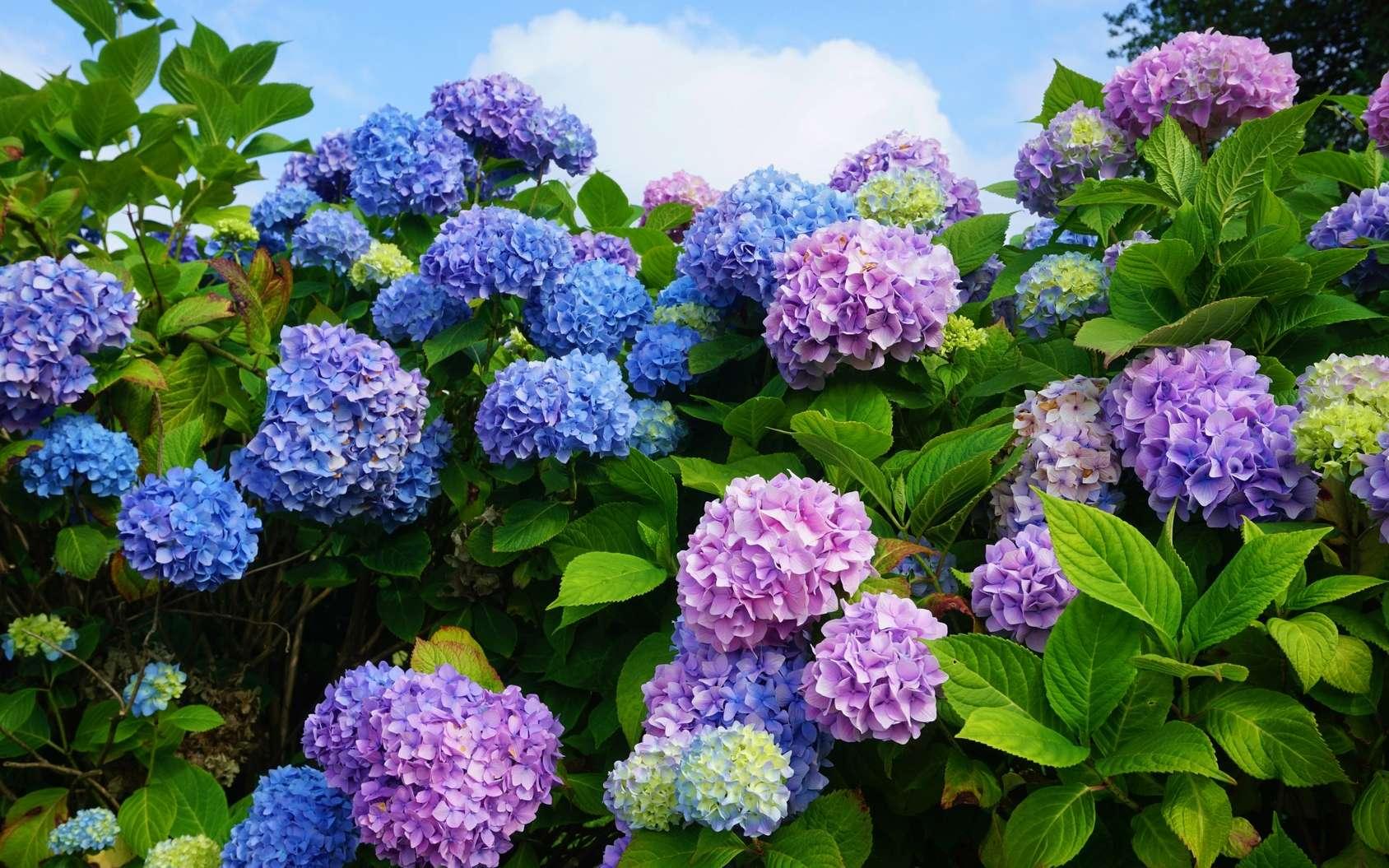 Les boutures d'hortensias se réalisent en juillet-août. © Fotolia