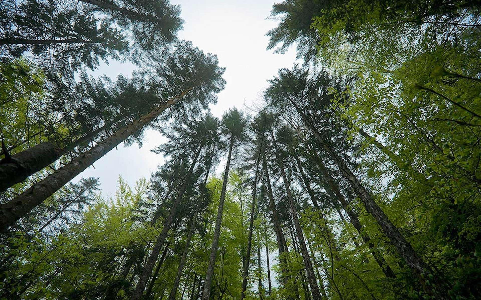 Le parc régional de Chartreuse s'étend sur 76.700 hectares. La surface boisée pouvant prétendre à l'AOC est de 28.000 ha. © bois-de-chartreuse.fr