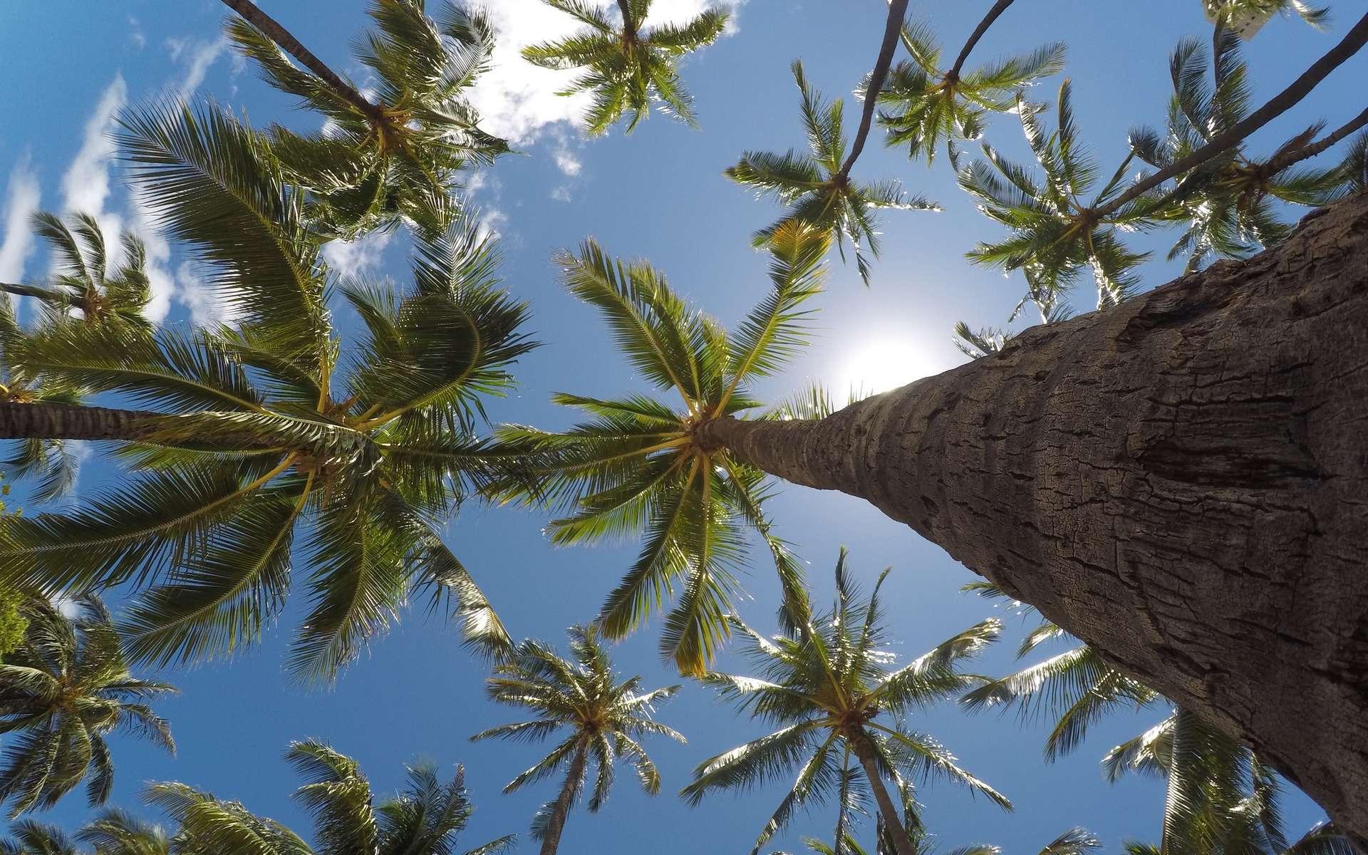 Le cocotier appartient à la famille des palmiers. © Jeremy Bishop, Unsplash