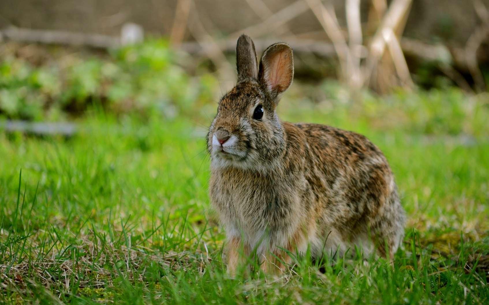 Le virus de la myxomatose affecte exclusivement les lapins. © Shaun, Fotolia.com