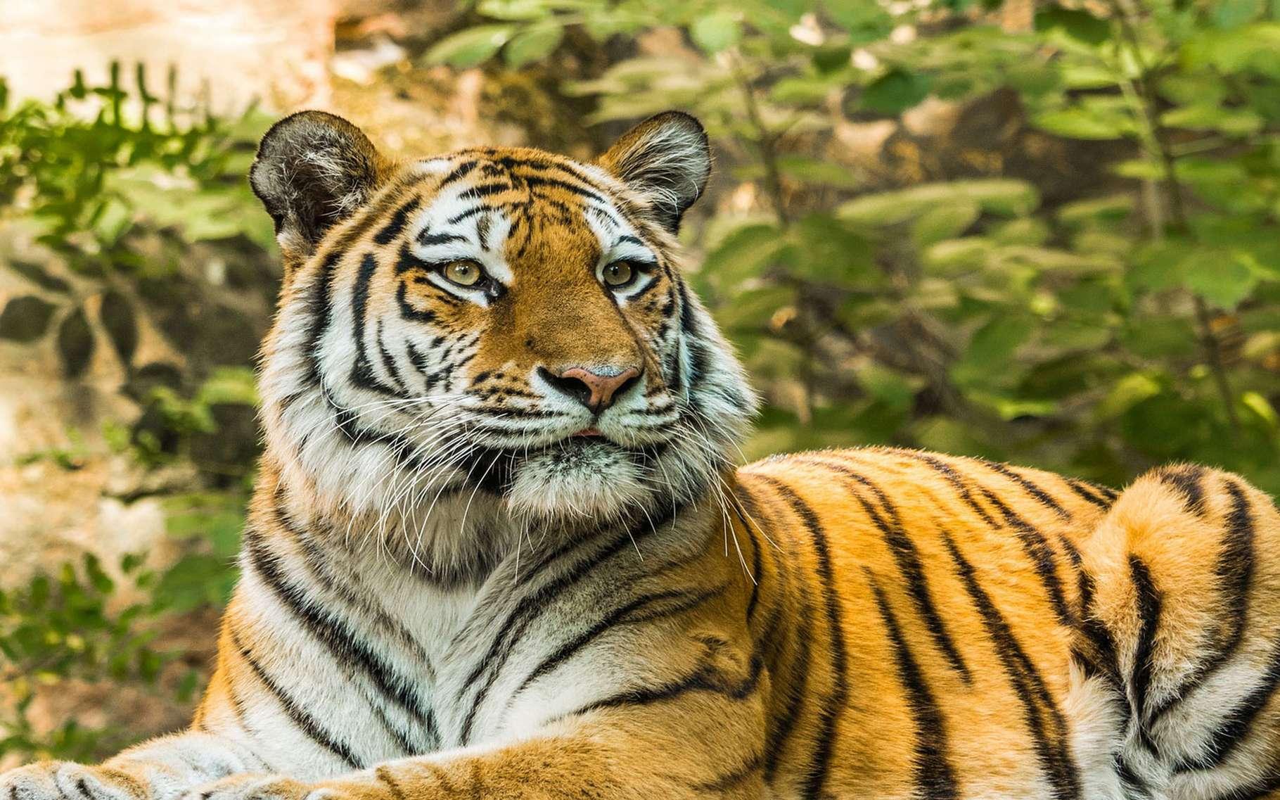 Les tigres sont les plus grands félins terrestres et des superprédateurs particulièrement redoutables. Cerf, sanglier ou même buffle, peu de proies résistent à leurs attaques. Reconnaissables entre mille avec sa fourrure rousse rayée de noir, le tigre de Sibérie est l'espèce la plus imposante, il peut mesurer jusqu'à 3 mètres de long et peser 300 kilos. Les tigres sont des animaux solitaires qui ne rencontrent leurs congénères que pour se reproduire. La femelle met bas, après trois mois de gestation, deux à trois petits en moyenne. Ils resteront près de leur mère jusqu'à deux ans. Bien que les tigres vivent dans des habitats très divers, allant des plaines glacées de Sibérie à la jungle dense de Sumatra, leur environnement ne cesse de se réduire. Aujourd'hui, ils vivent essentiellement en Inde, pays qui concentre la moitié de la population sauvage de ces grands félins. © Heidelbergerin, CCO