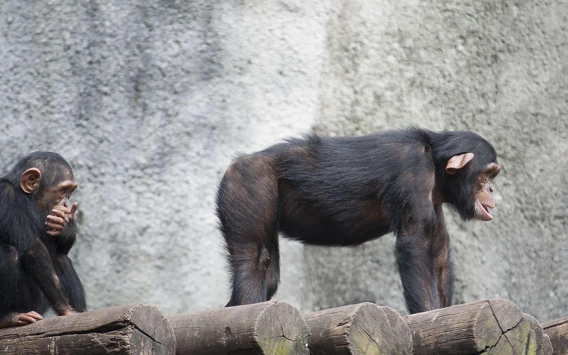 « Montre-moi tes fesses je te dirai quel chimpanzé tu es. » © AJancso, Shuttestock