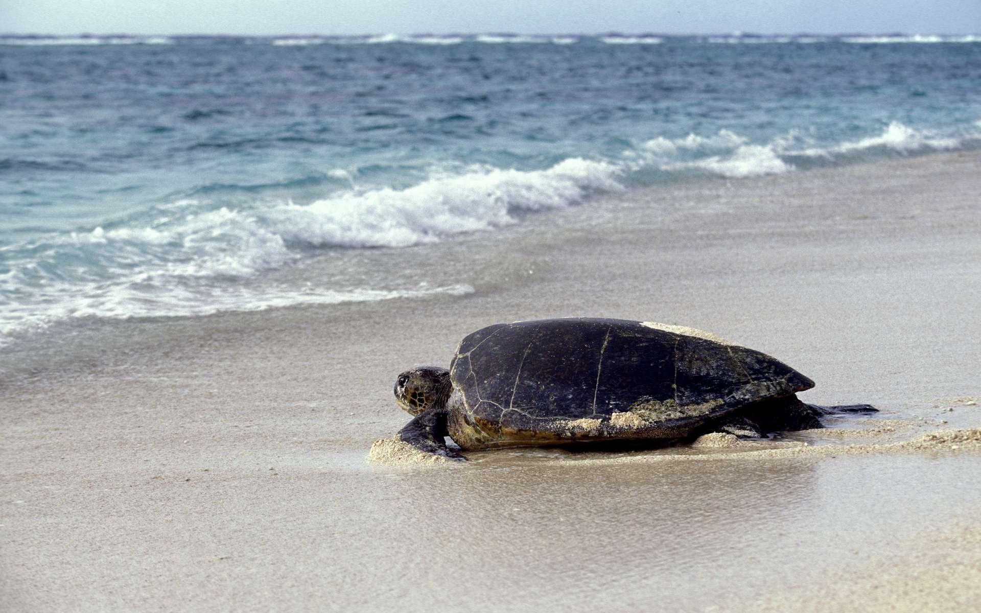 Une tortue caretta caretta est venue pondre sur une plage de Fréjus dans le département du Var. © Slowmotiongli, Adobe Stock