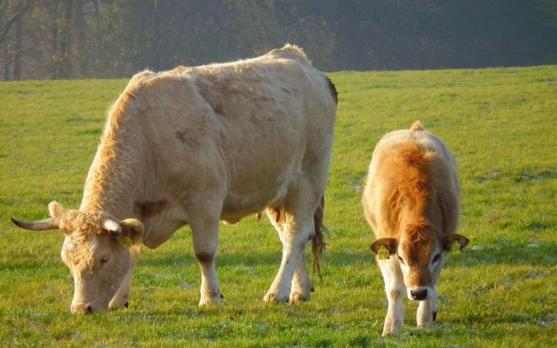 En image, une vache et son veau en train de brouter dans un pré. De plus en plus de personnes préfèrent acheter une viande dont l'animal a vécu dans de bonnes conditions. © 4028mdk09, Wikimedia, cc by sa 3.0