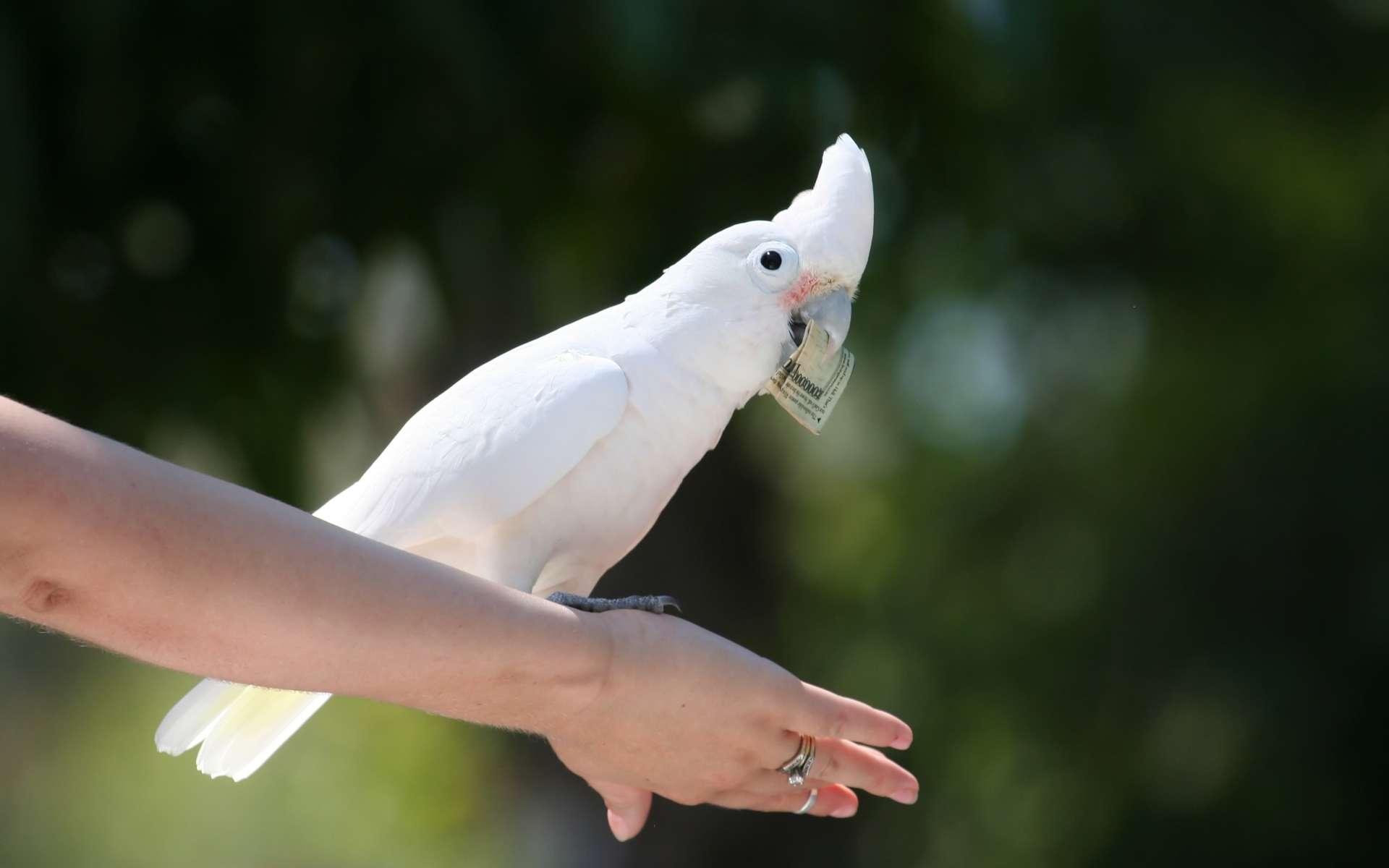 Des scientifiques viennent de montrer comment un perroquet, le cacatoès de Goffin, sait manipuler des outils et réfléchir avant d'agir. Ici, un individu captivité. © Xavier Marchant, Shutterstock