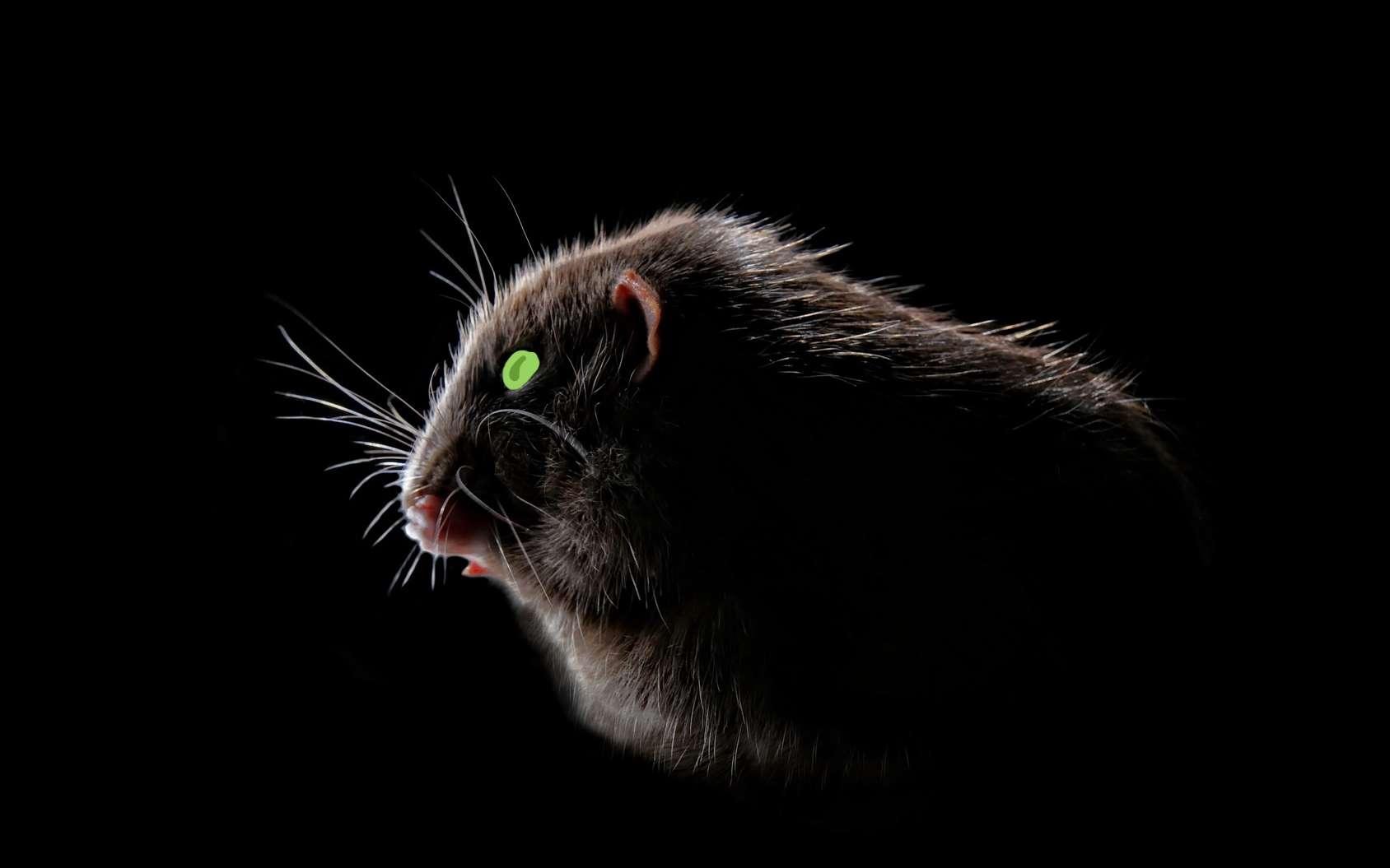 Des souris dotées de vision de nuit grâce à l'injection de nanoparticules dans les yeux. © C.D/Lightspruch, Fotolia