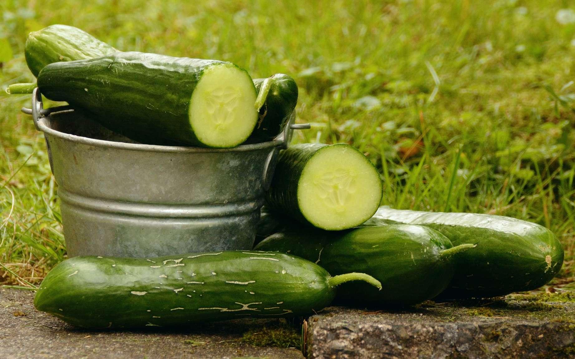 Dès la mi-juillet, la récolte du concombre doit se faire sans trop tarder, sinon la chair se gorge de graines. Pour récolter le concombre sans brutaliser le plant, coupez le pédoncule à l'aide d'un couteau ou de ciseaux. © Pixabay