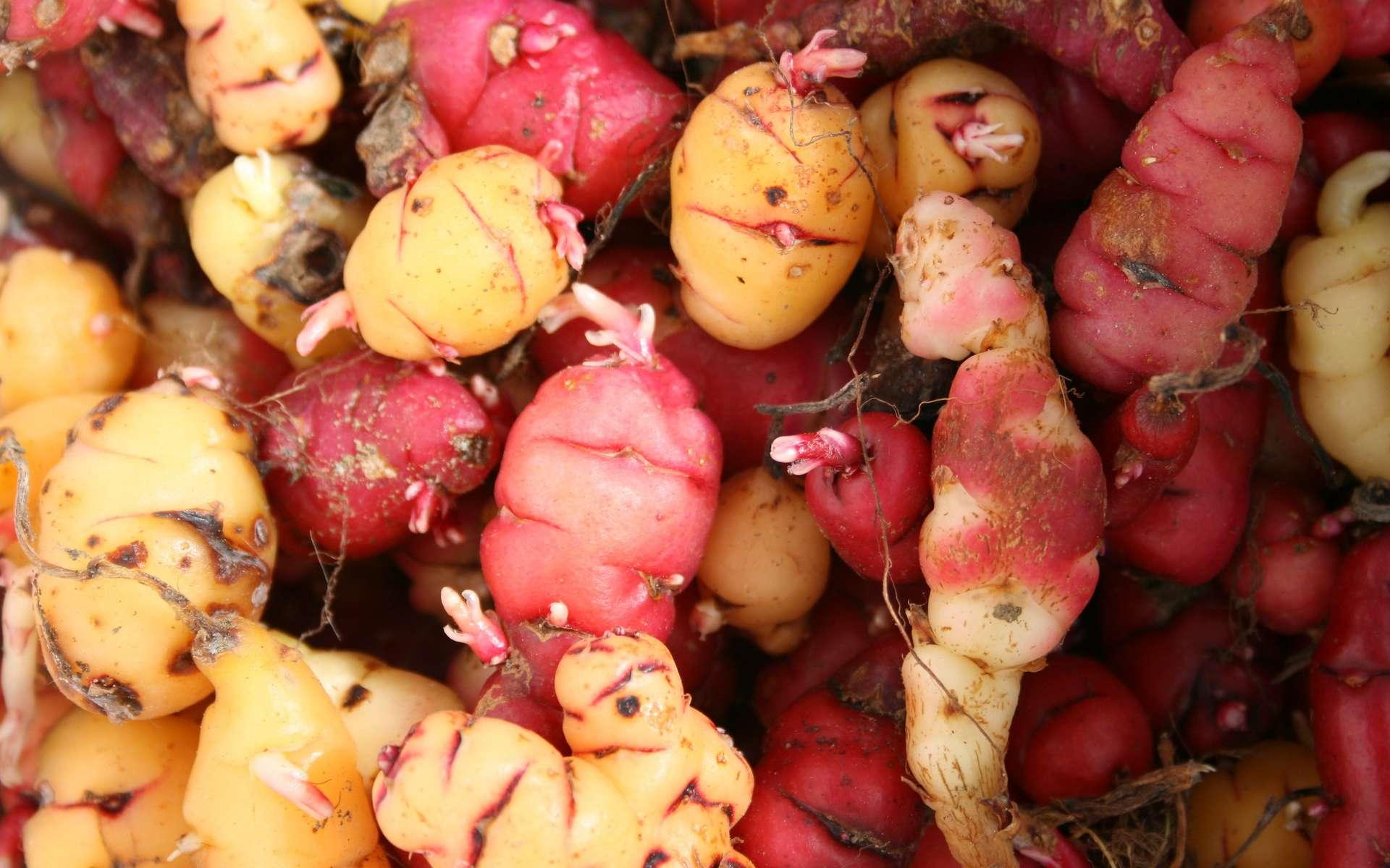 L'oca, une tubercule originaire du Pérou. © Emma Cooper, Flickr
