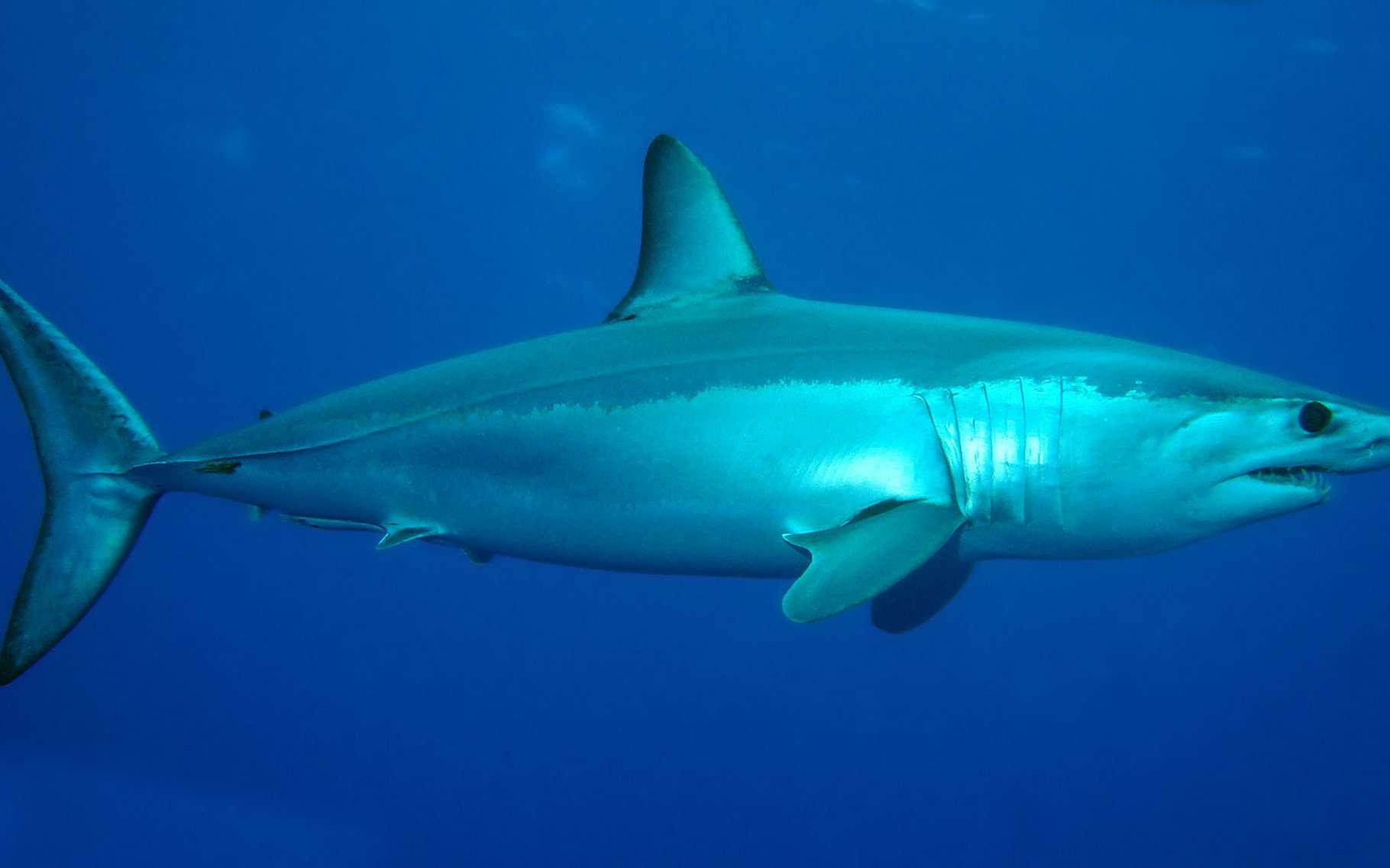 Petite fusée des mers, le requin mako (Isurus oxyrinchus), aussi appelé requin taupe bleu à cause de la couleur bleu foncé de son dos, est le requin le plus rapide du monde : ses accélérations subites peuvent lui faire atteindre la vitesse de 18,8 mètres par seconde, soit près de 70 km/h. Il peut remercier pour cela son nez pointu qui vient coiffer un corps fuselé de 4 m de long environ, que termine une queue en forme de croissant.Très consommé, pour sa viande, ses ailerons et son huile de foie, le requin mako est menacé par la surpêche. Il est classé en tant qu'espèce vulnérable sur la liste rouge de l'UICN.© Patrick Doll CC By-SA 3.0