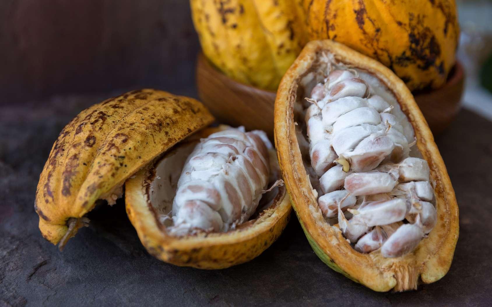 Des chercheurs sont remontés jusqu'aux origines du cacao en analysant le génome du plus rare cacaoyer du monde. Leur étude pourrait permettre d'améliorer le rendement et donc de produire plus de cacao. © kamonrat, Fotolia