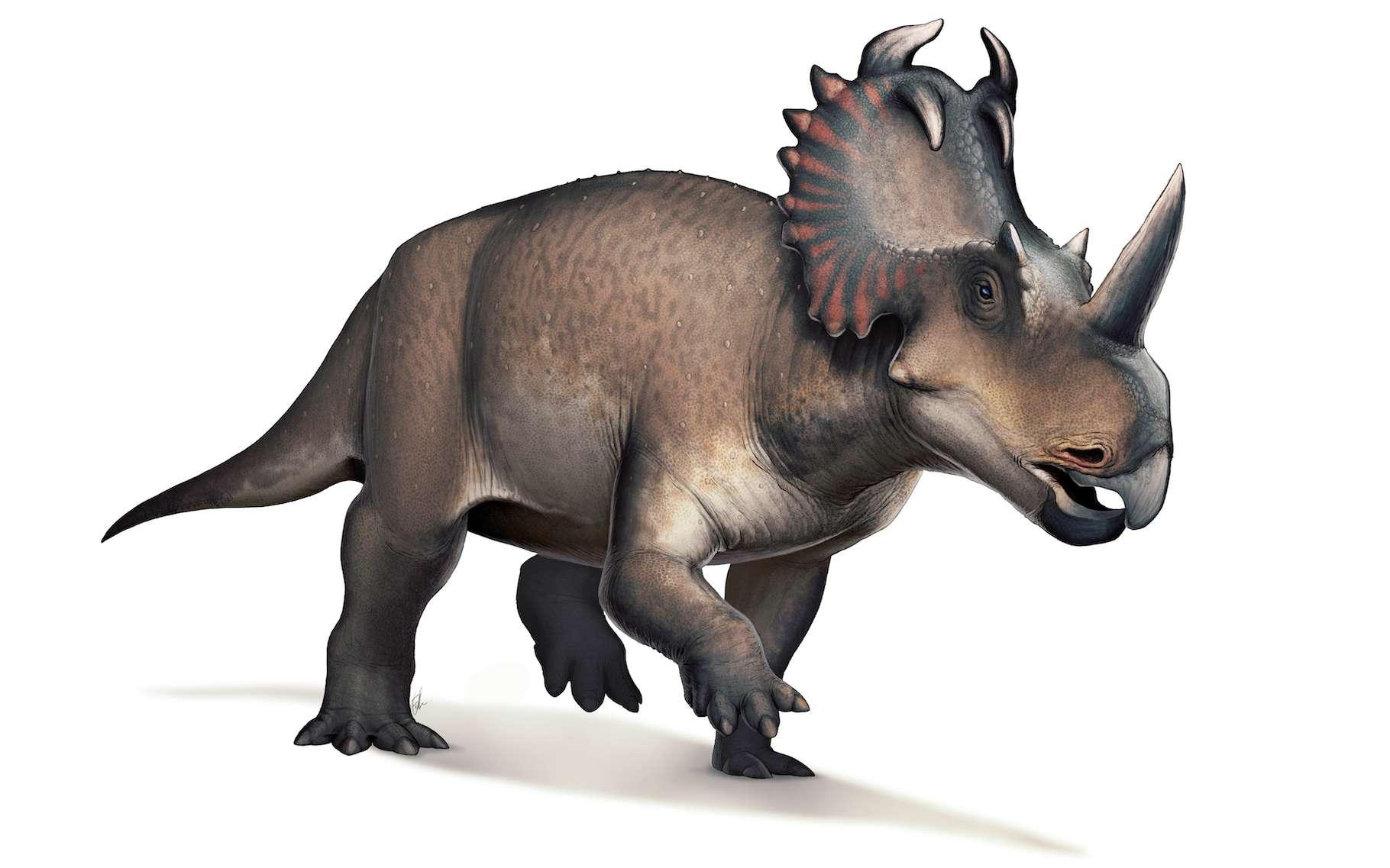 C'est sur un dinosaure du type Centrosaurus apertus — ou « lézard à pointe » — que des chercheurs du Musée royal de l'Ontario et de l'université McMaster (Canada) ont diagnostiqué un cancer malin. Une première ! © Fred Wierum, Wikipedia, CC by-sa 4.0