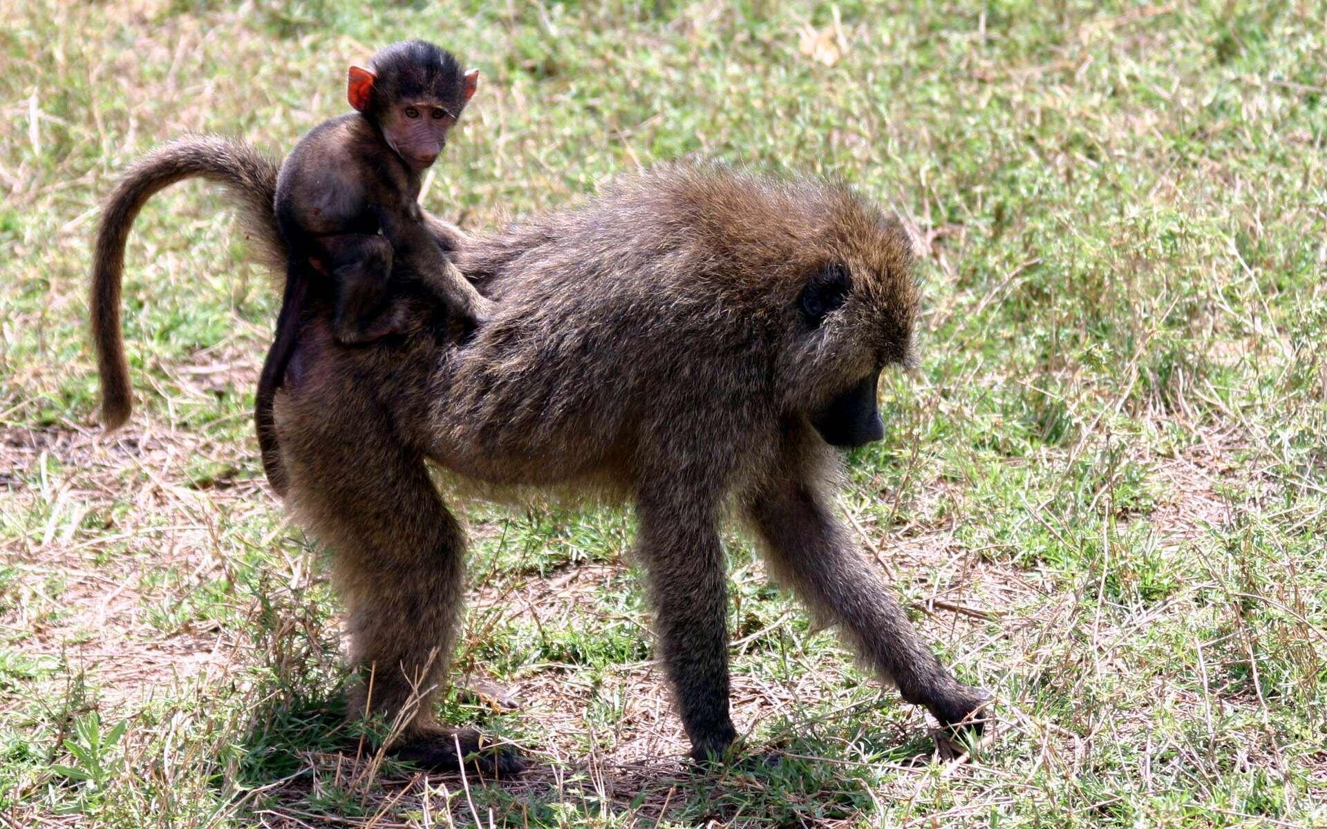 Une femelle babouin prend son petit sur son dos. Si les femelles qui s'occupent le plus souvent des progénitures, les mâles sont tout de même capables de tisser des liens avec leurs petits. © Charles J. Sharp, GNU 1.2
