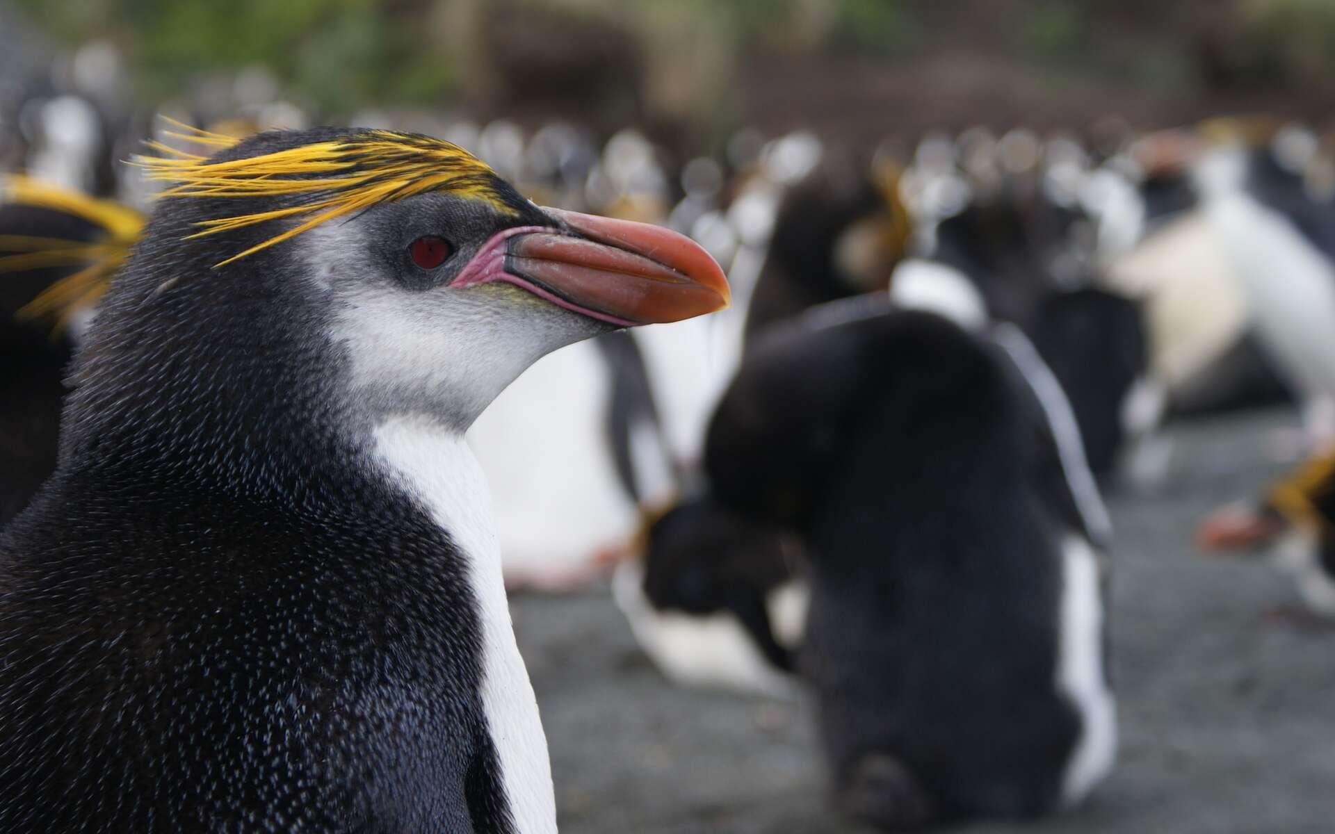 La plus grande colonie de manchots royaux au monde a diminué de près de 90 % en 35 ans. © Kimberley Collins, Flickr CC BY 2.0