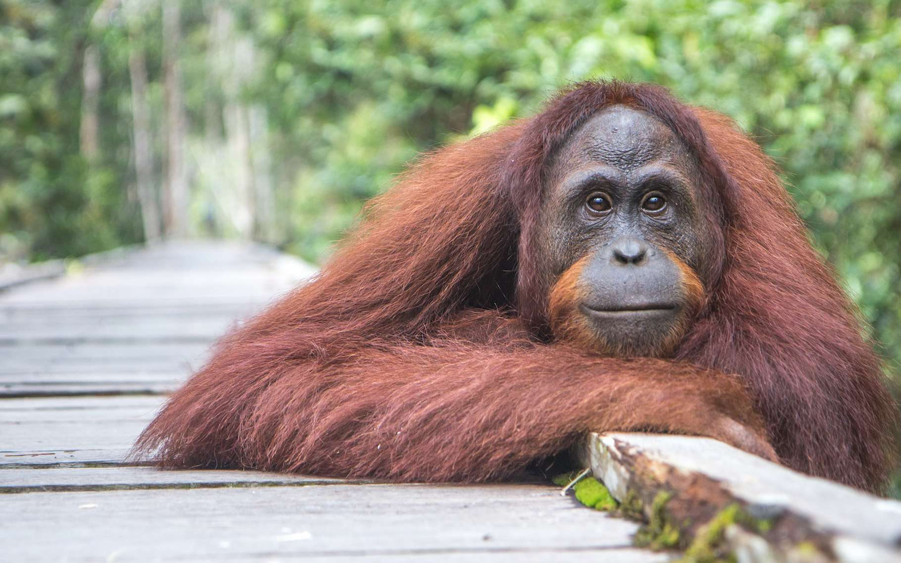 Sur l'île de Bornéo, au cœur du royaume des orangs-outans, des chercheurs ont retrouvé un oiseau qu'ils pensaient éteint depuis quelque 170 ans. © Kertu, Adobe Stock
