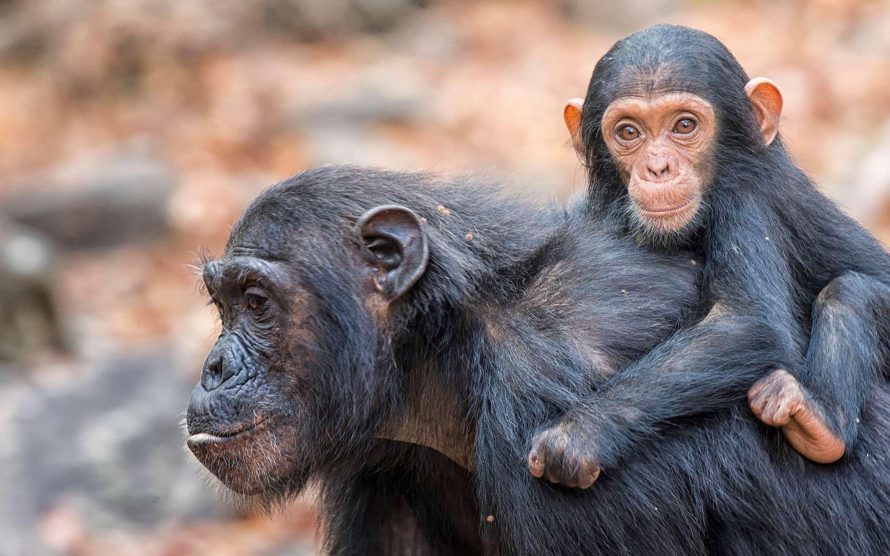 Les chimpanzés, comme beaucoup de grands vertébrés, sont menacés dans de nombreuses régions, mais ils sont la face visible de l'iceberg. En rasant des forêts, les activités humaines font disparaître des écosystèmes entiers, avec leurs végétaux, leurs animaux et leurs micro-organismes. © sivanadar, Shutterstock