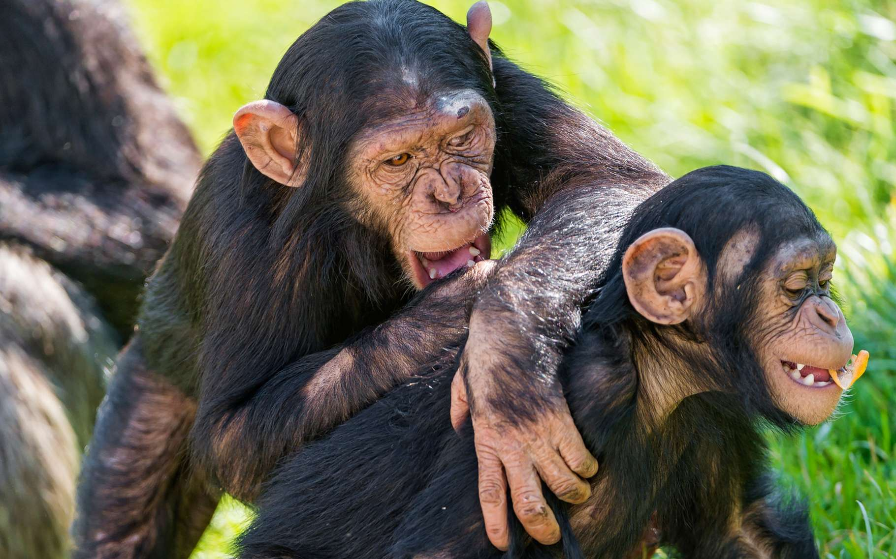 Les grands singes savent qu'un autre peut croire non pas la réalité mais ce qu'il pense être la réalité. © Laura Kehoe (université Humboldt, Berlin)