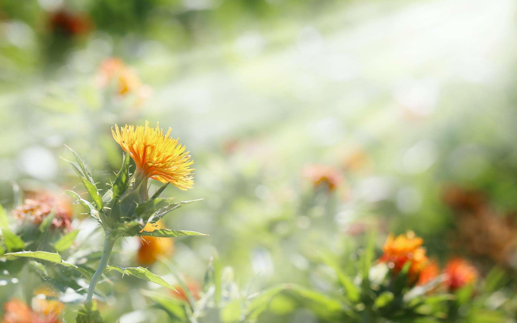 L'héliotropisme est la capacité des plantes à s'orienter vers le soleil. © kelly marken, Adobe Stock