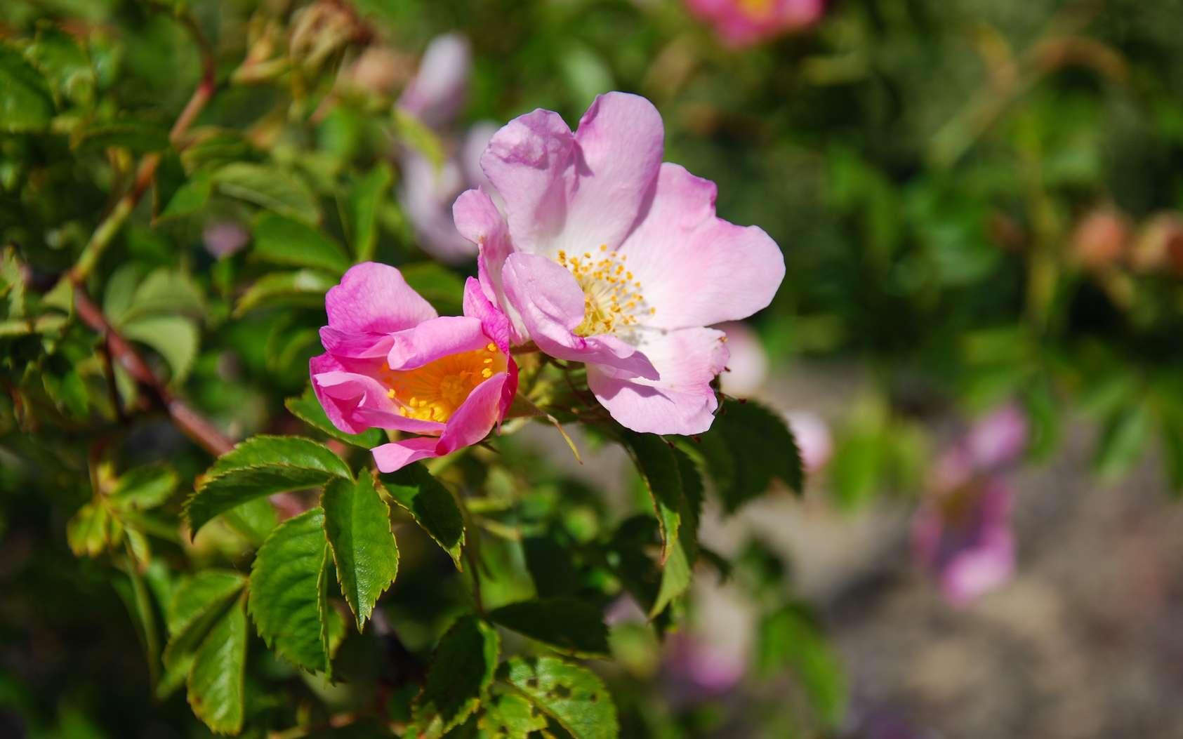 L'églantier ou rosier sauvage est riche en vitamine C. © Birgitta, fotolia