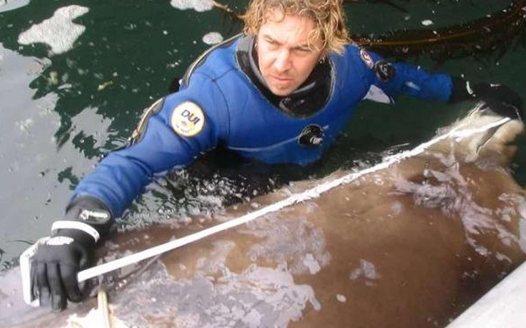 L'océanographe Reid Brewer (University of Alaska Southeast), en 2004, mesure le cadavre d'une baleine à bec inconnue retrouvée dans les îles Aléoutiennes, chapelet de terres en arc de cercle joignant le Kamtchatka et l'Alaska, et fermant la mer de Béring. L'analyse génétique a révélé que l'animal appartient effectivement à une espèce encore non décrite. © Don Graves
