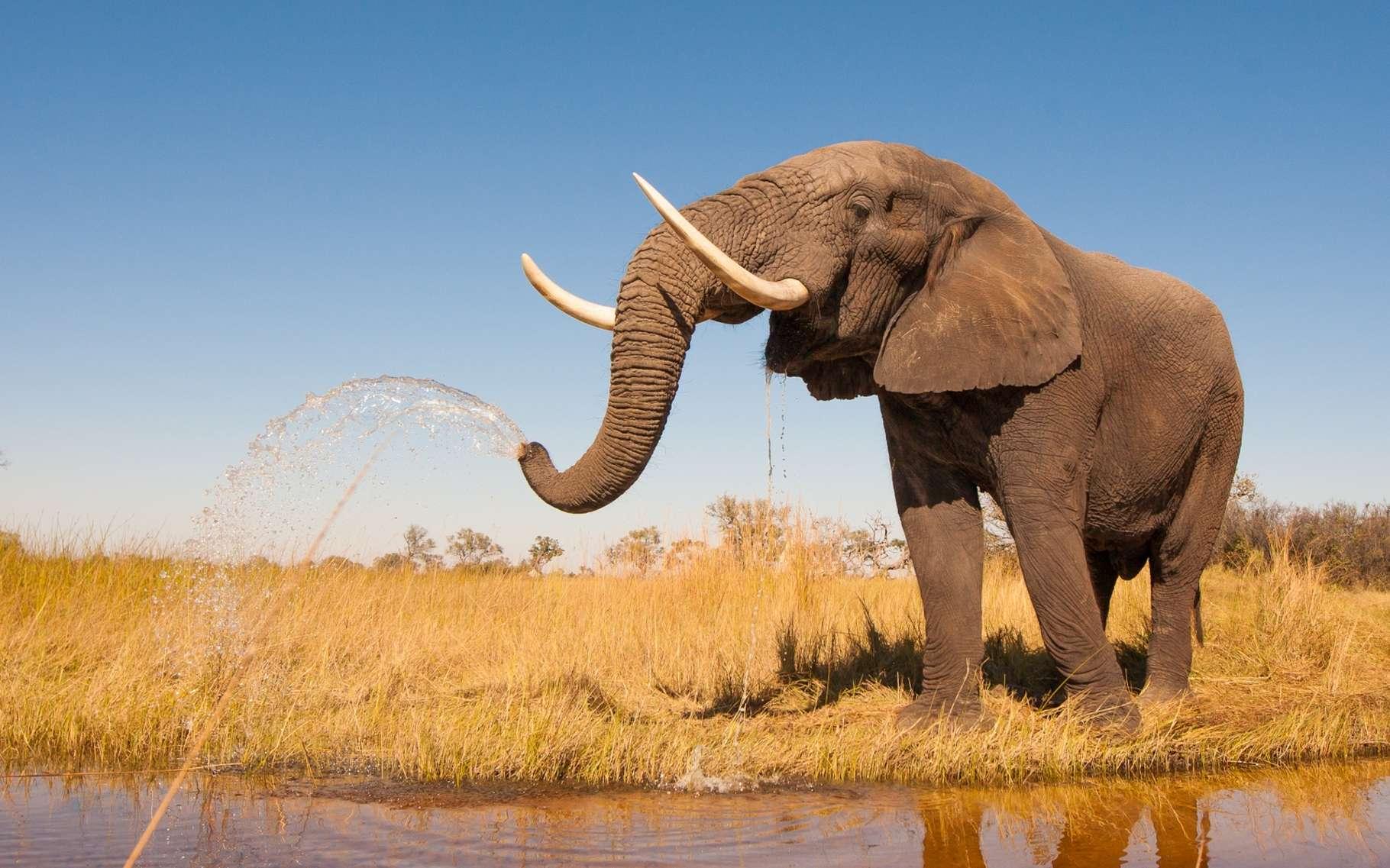 Les deux espèces d'éléphants d'Afrique (éléphant de savane et éléphant de forêt) ont vu leurs effectifs fondre ces dernières années, à cause du braconnage et de la réduction de leurs habitats due aux activités humaines (villes, villages, agriculture, routes…). Leur situation semble désormais critique. © Donovan van Staden, Shutterstock