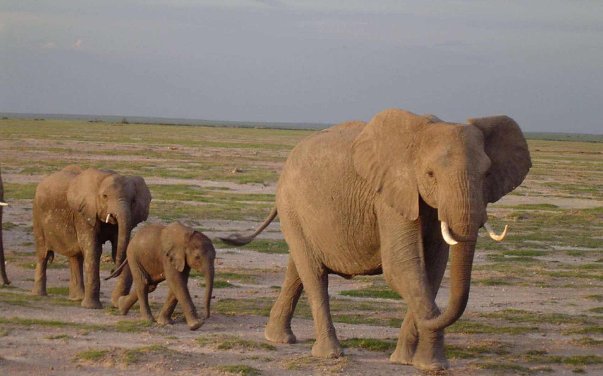 Les infrasons sont couramment utilisés par les éléphants, notamment par les femelles dominantes lorsqu'elles guident leur groupe ou lorsqu'une mère veut surveiller et garder sa progéniture à distance. Ces éléphants d'Afrique ont été photographiés à l'Amboseli National Park, au Kenya. © Angela S. Stoeger