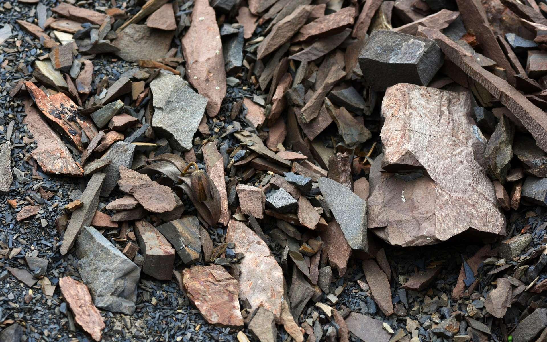 La fritillaire a évolué pour échapper au regard des cueilleurs. © Yang Niu