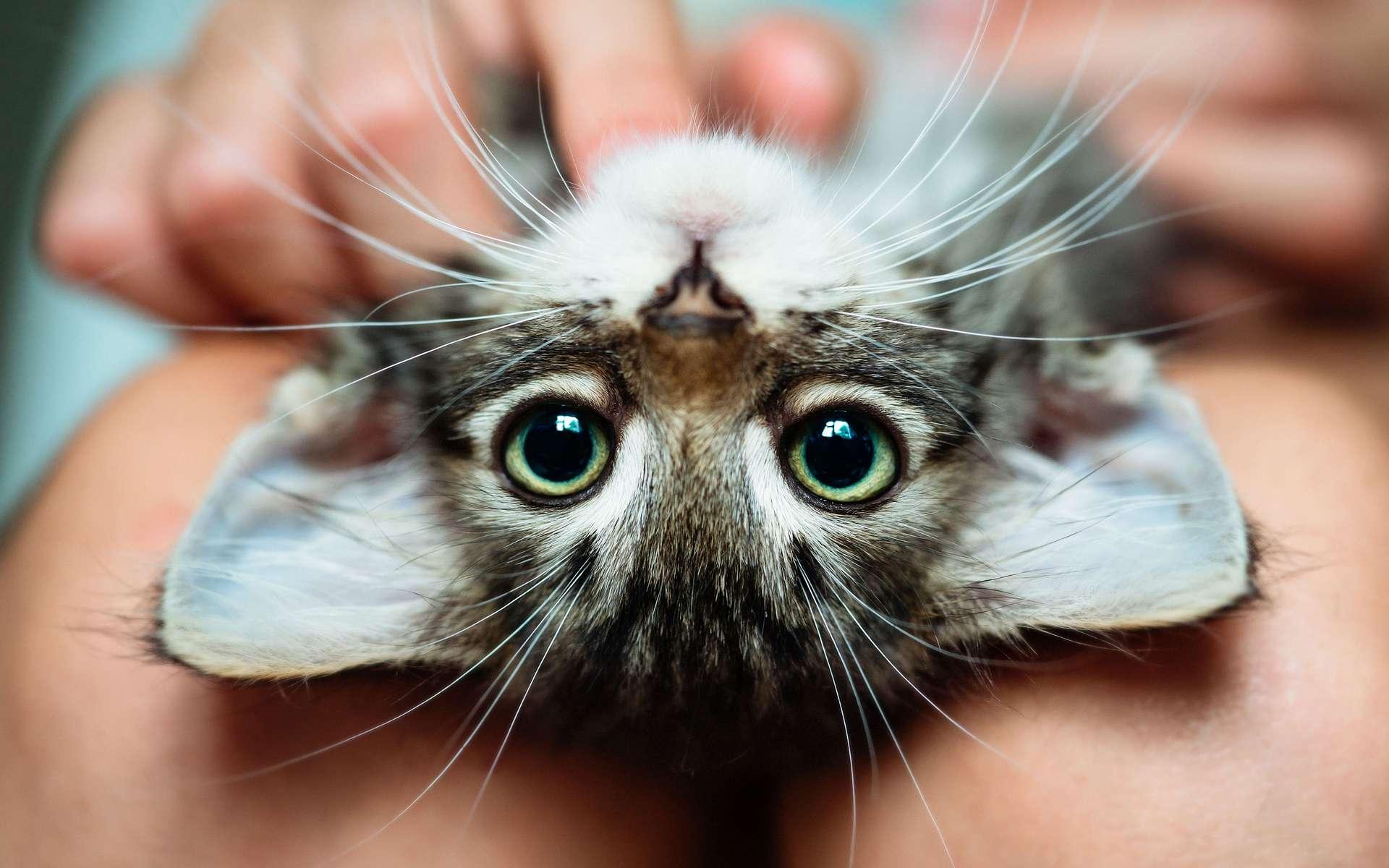 Il existe une cinquantaine de races de chat reconnues. © Uzhursky, Adobe Stock