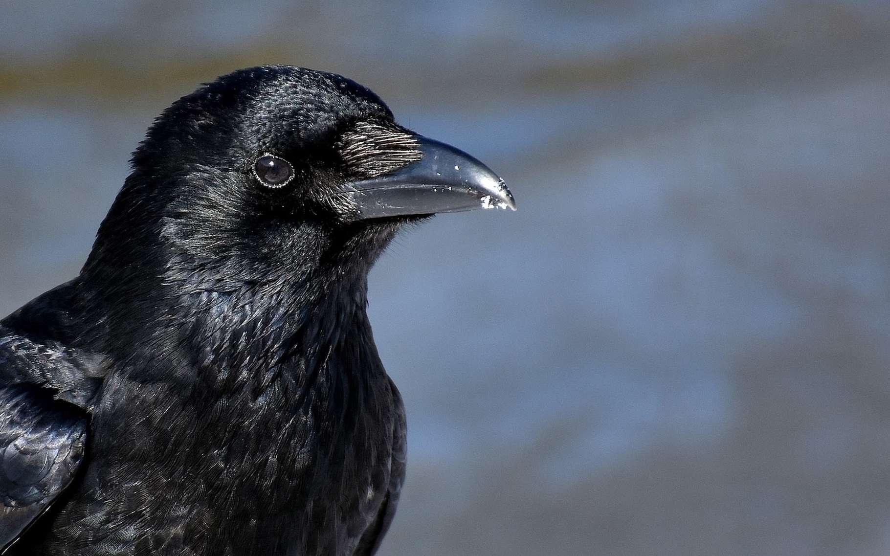 Des corbeaux ont appris à fabriquer des outils complexes tout seuls