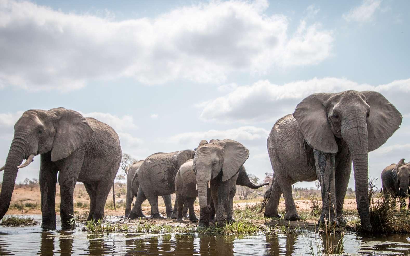 Animaux sociaux, les éléphants communiquent beaucoup entre eux, et de multiples manières. © Simoneemanphoto, Fotolia