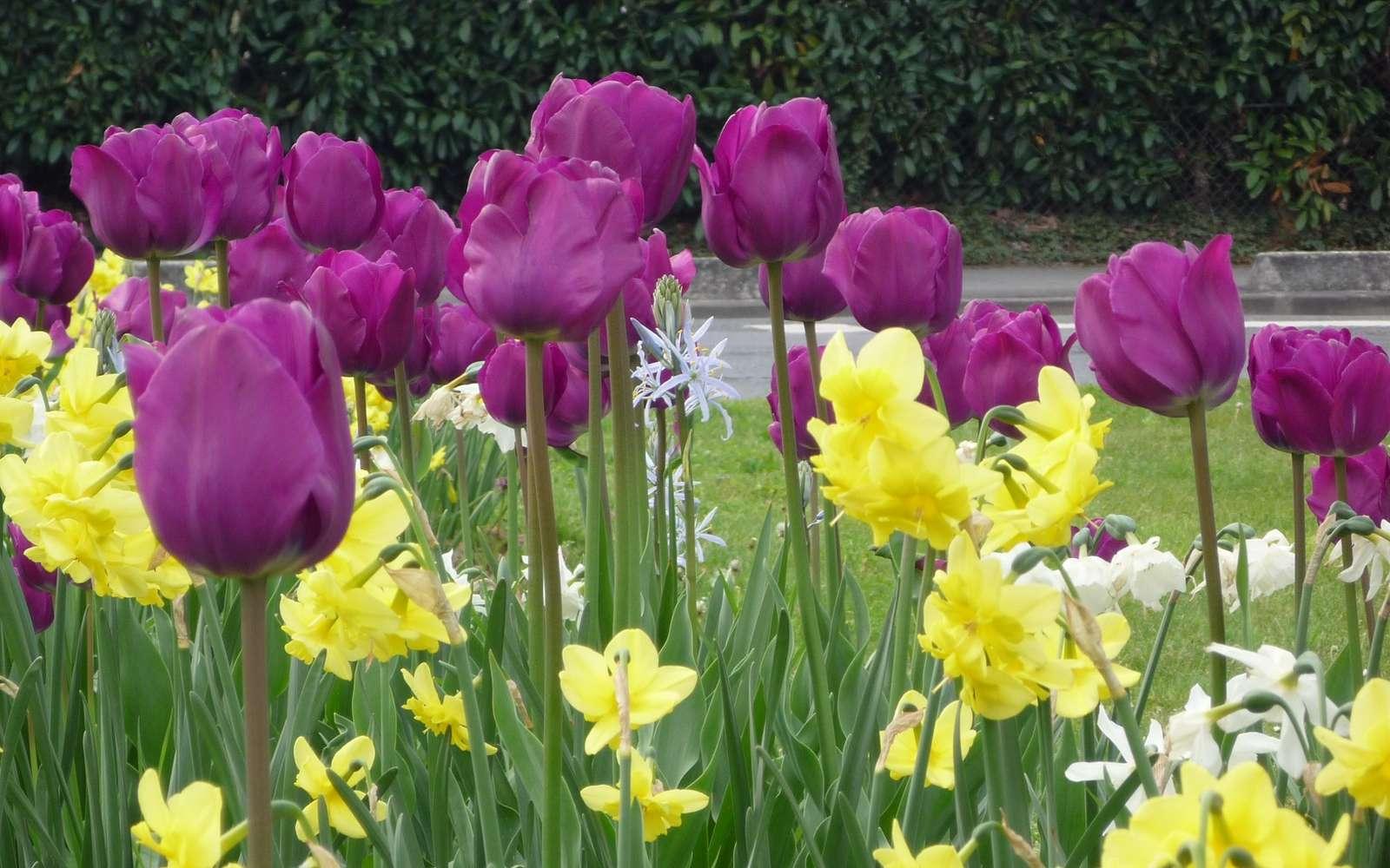 La tulipe est une plante à bulbe appréciée pour sa variété de couleurs © S. Chaillot